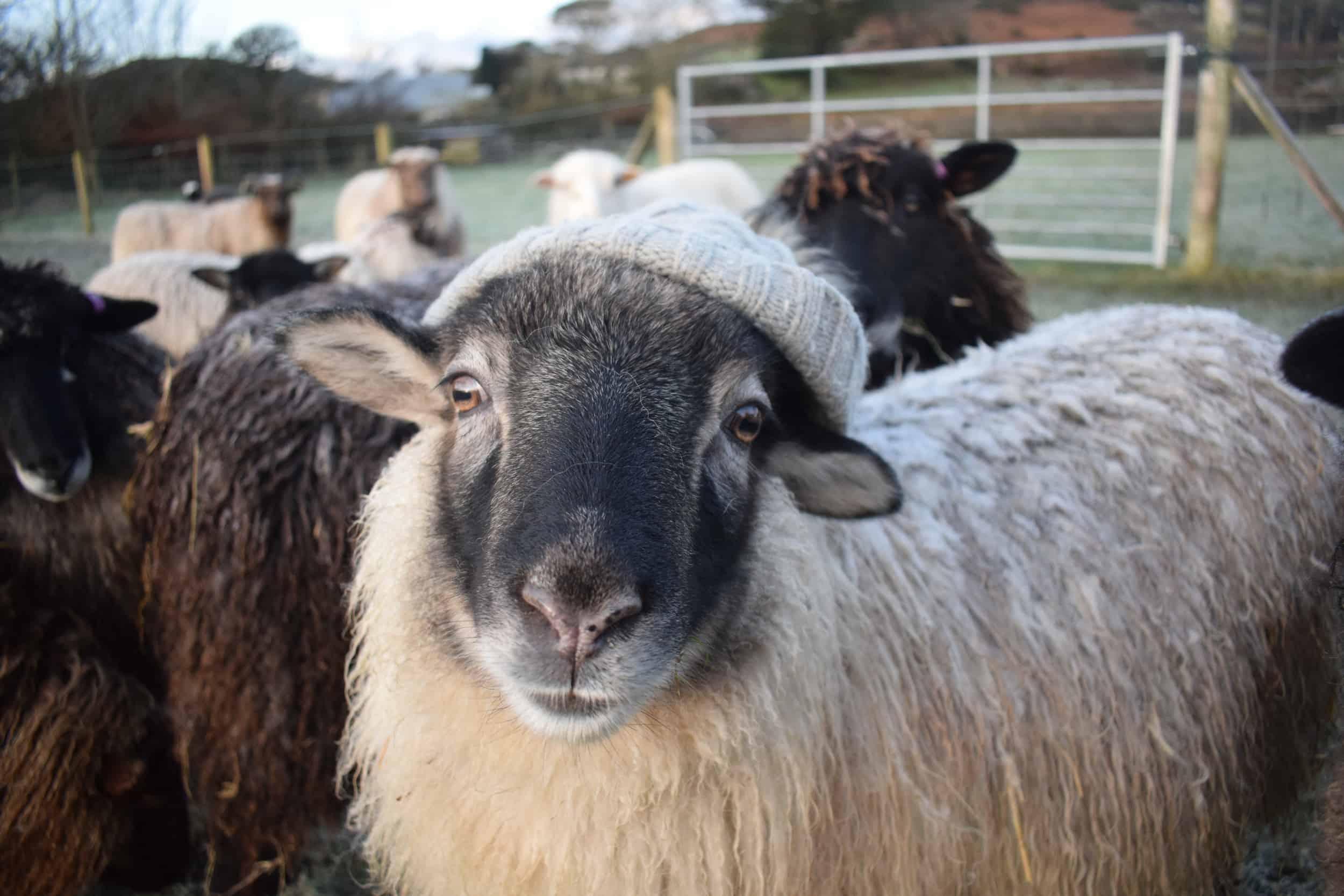 Elder sheep woolly hat jumper icelandic sheep kind fibre british wool soay cross
