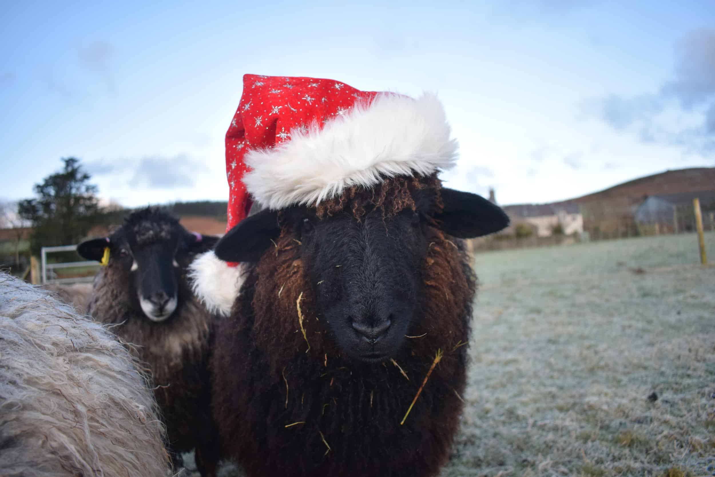 Spot santa hat xmas valais blacknose cross zwables texel sheep pet sheep ethical sustainable wool gifts patchwork sheep black 3