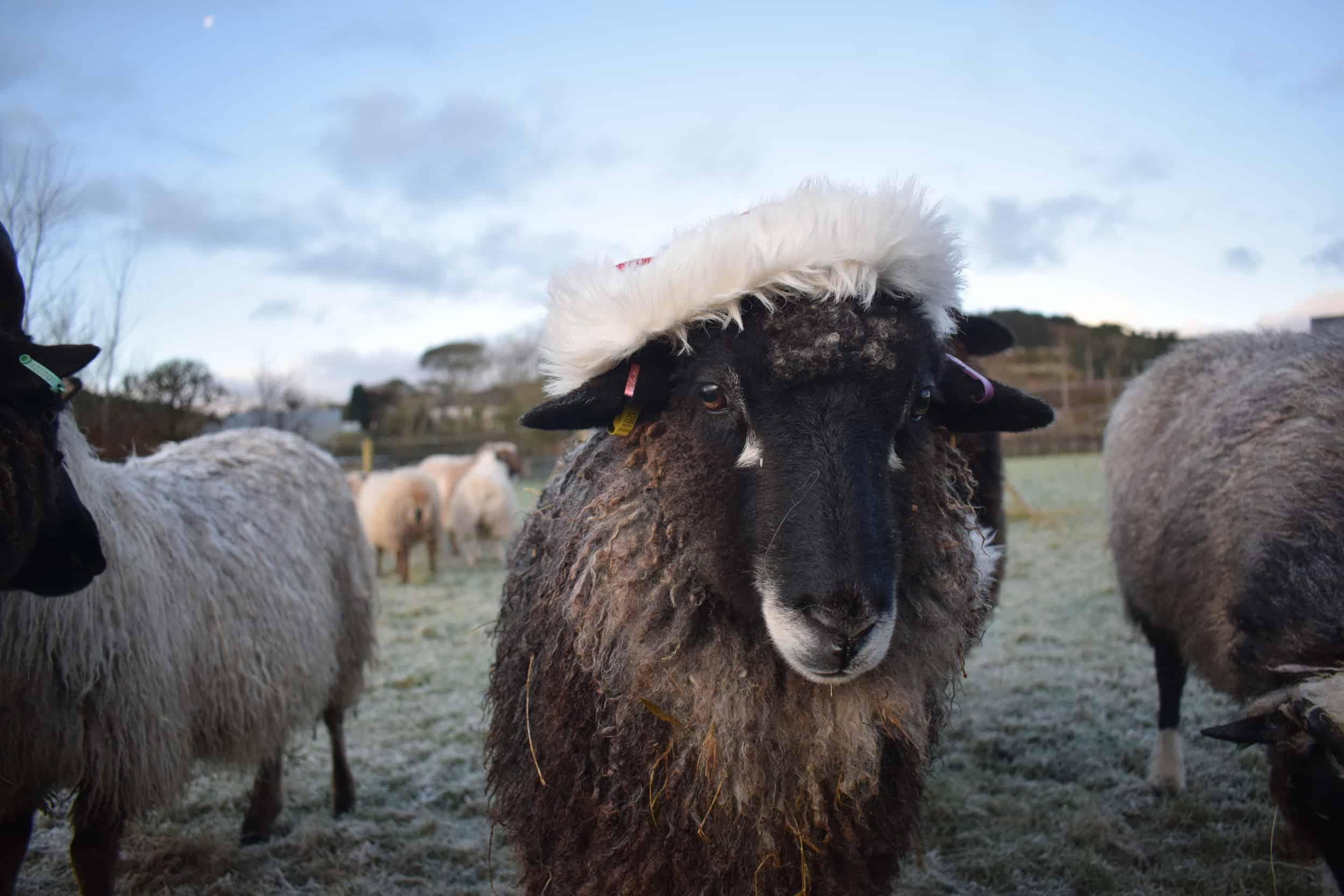 florence christmas sheep xmas santa hat coloured leicester longwool gotland shetland sheep crossbreed english blue kind fibre