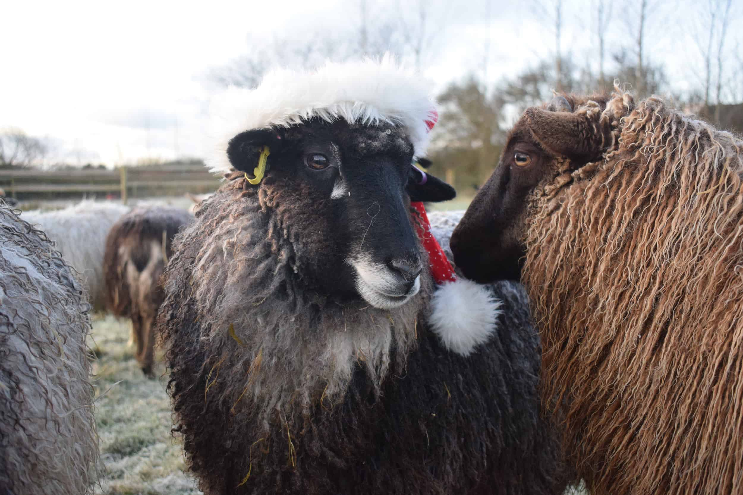florence humphrey sheep xmas santa hat coloured leicester longwool gotland shetland sheep crossbreed english blue kind fibre