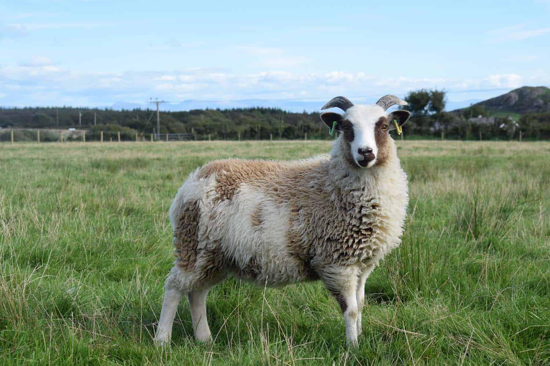 Posy pet lamb sheep friennd moorit spotted soay cross sheep 3
