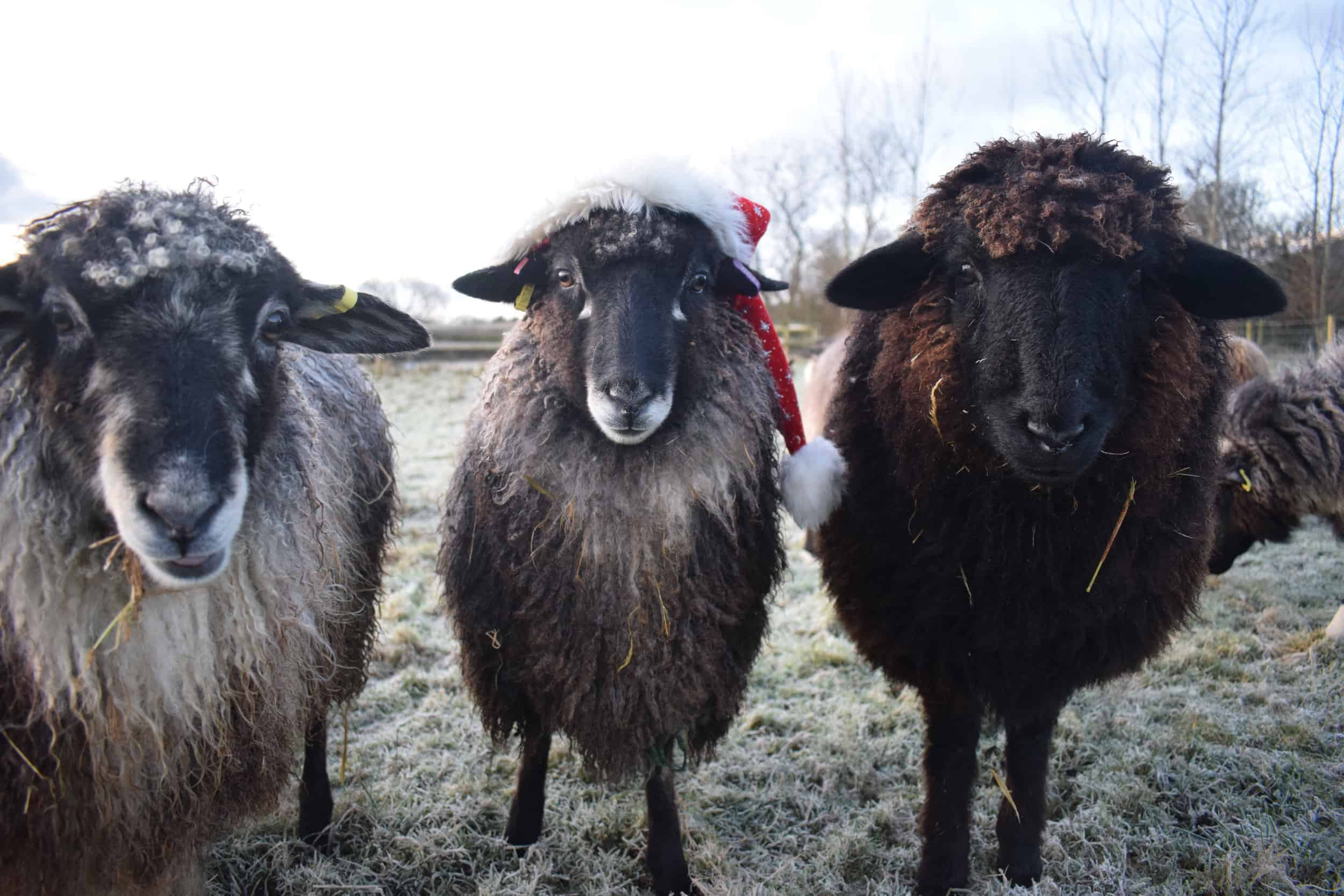 florence jemima spot christmas sheep xmas santa hat coloured leicester longwool gotland shetland sheep crossbreed english blue kind fibre