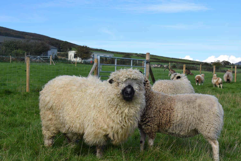Nora valais blacknose greyface dartmoor pet sheep cuddle bear sheep patchworksheep crueltyfree felt rugs 3