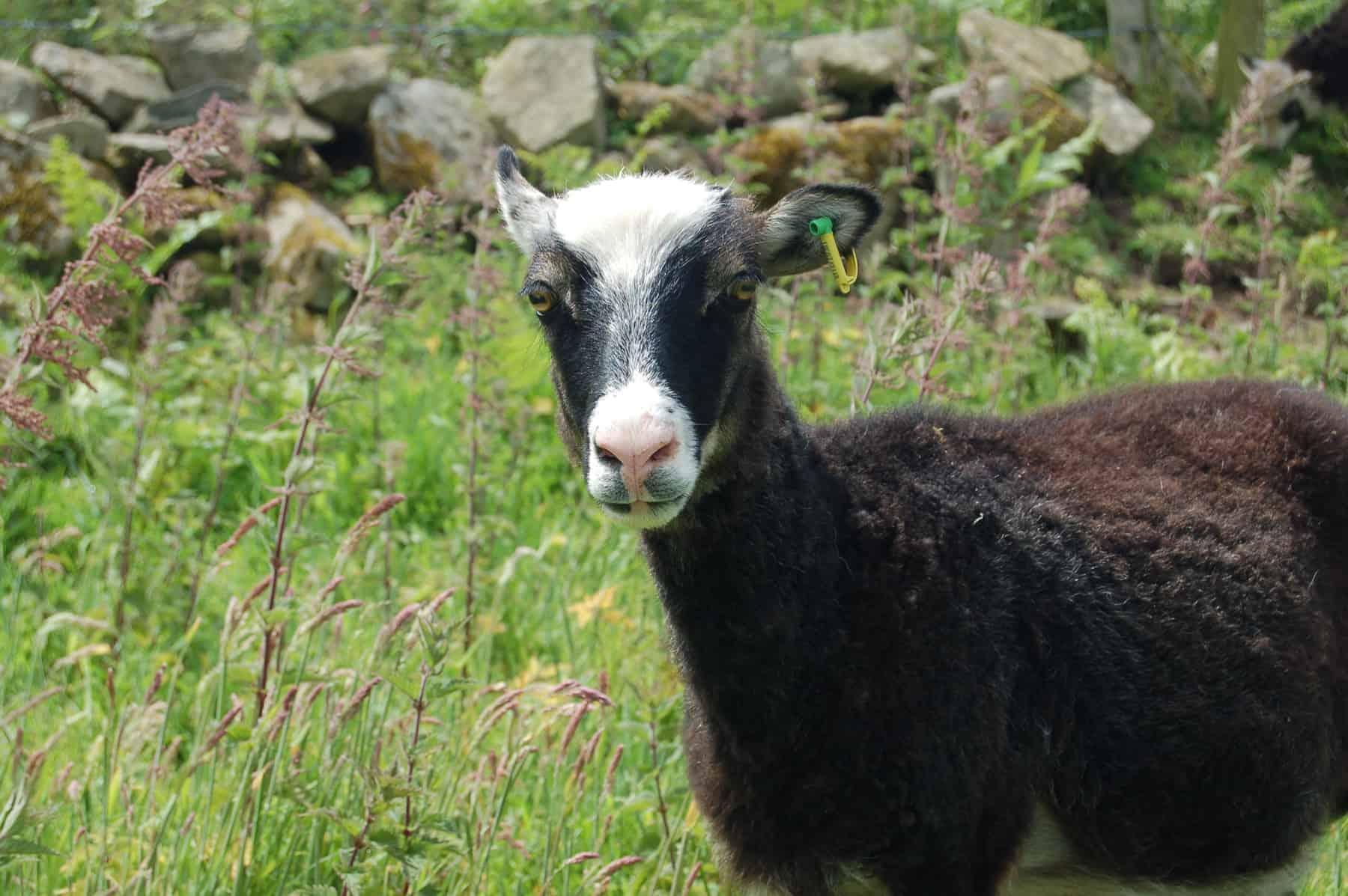Taragon welsh mountain cross soay sheep wild beautiful wool frosted mouflon 5
