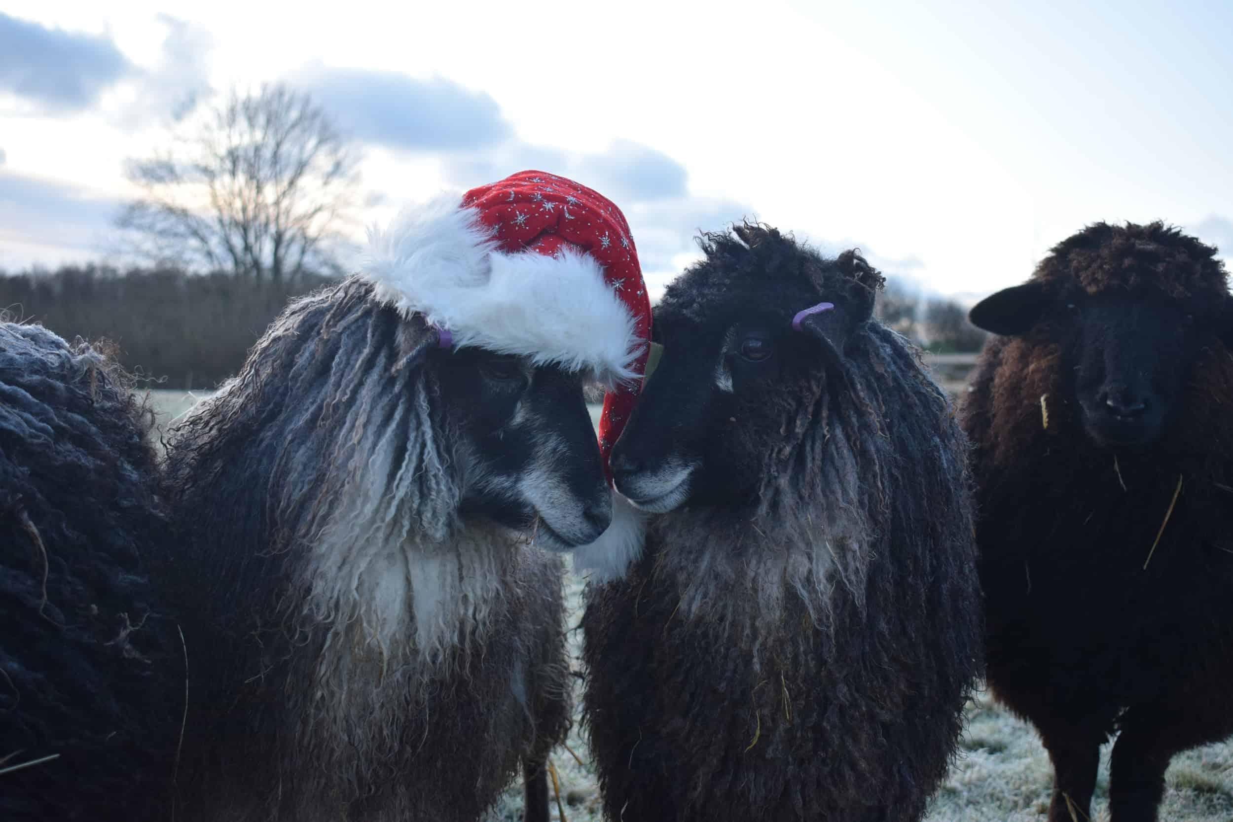 florence jemima christmas sheep xmas santa hat coloured leicester longwool gotland shetland sheep crossbreed english blue kind fibre