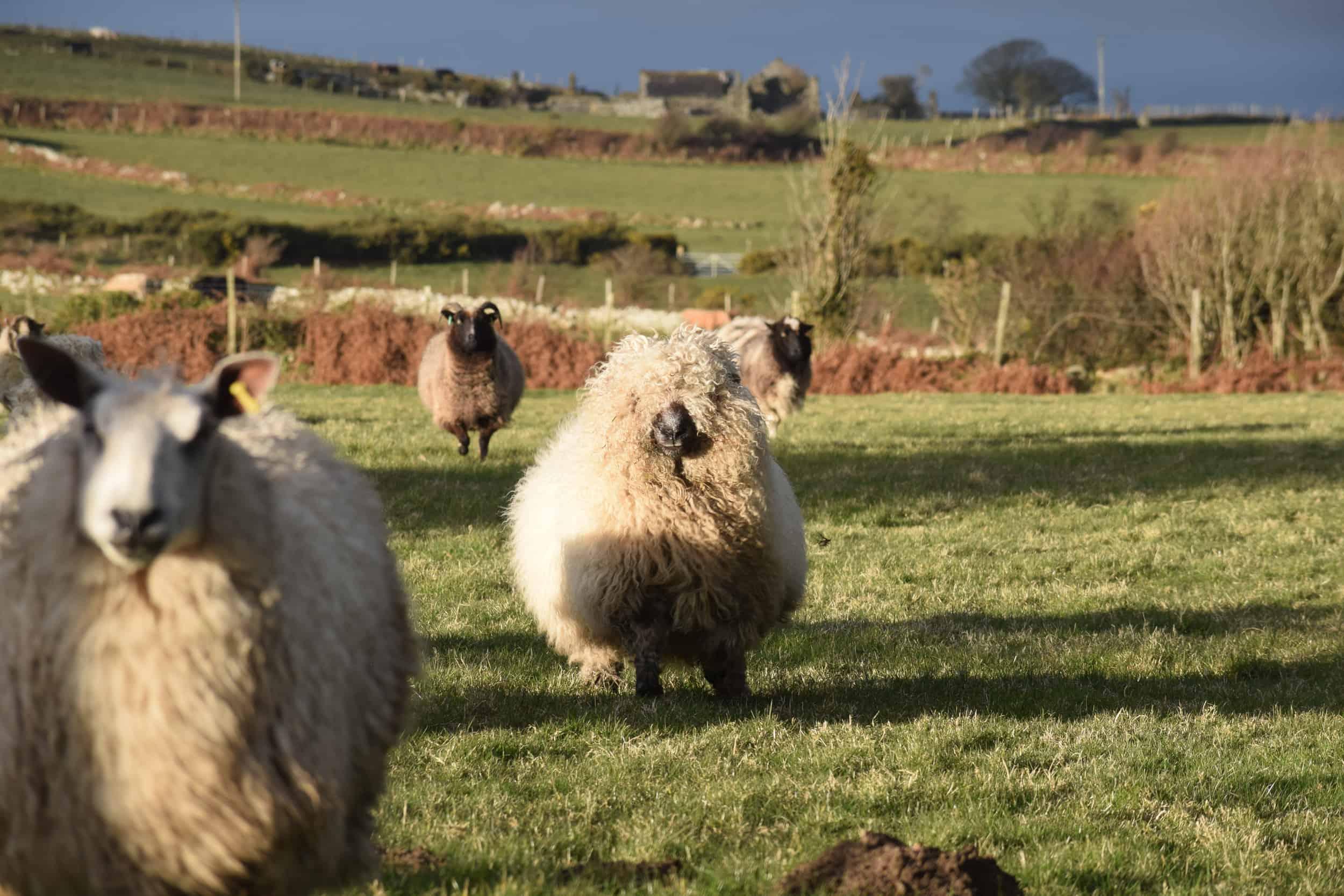 Nora valais blacknose greyface dartmoor pet sheep cuddle bear sheep patchworksheep crueltyfree felt rugs