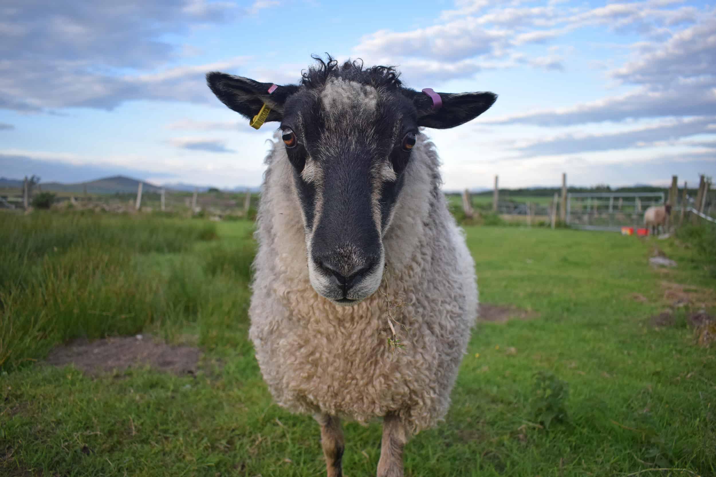 Florence english blue colour coloured leicester longwool cross gotland shetland shearling ewe felted fleece rug