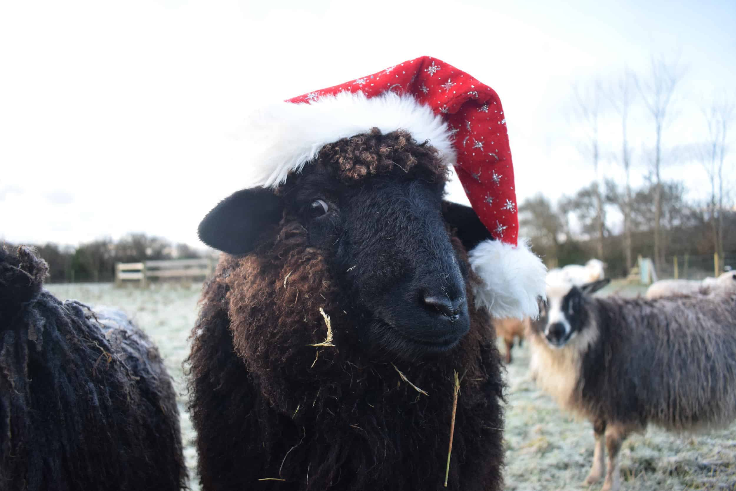 Spot santa hat xmas valais blacknose cross zwables texel sheep pet sheep ethical sustainable wool gifts patchwork sheep black 2