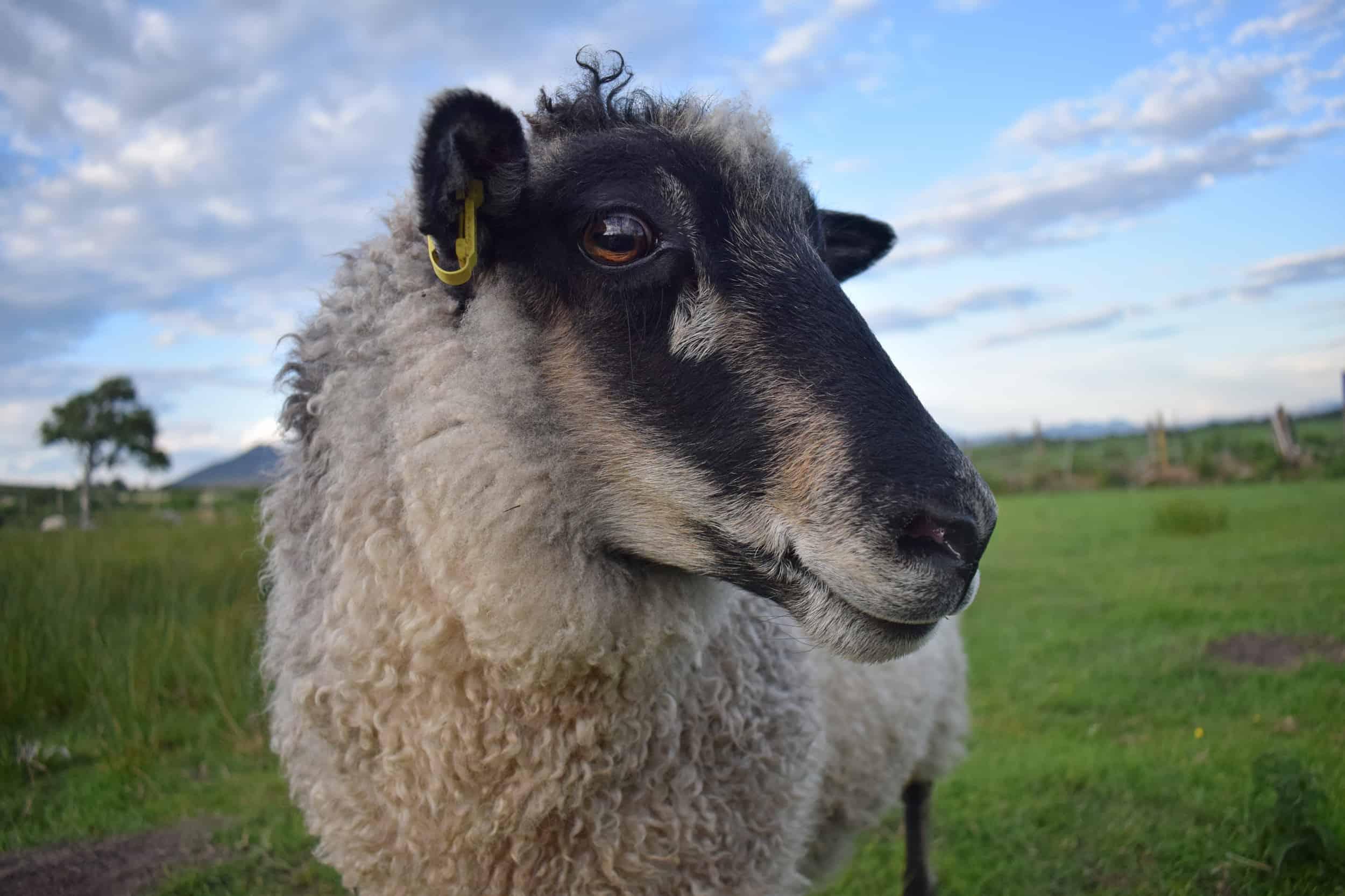 Florence sheep coloured leicester longwool cross gotland shetland shearling ewe felted fleece rug