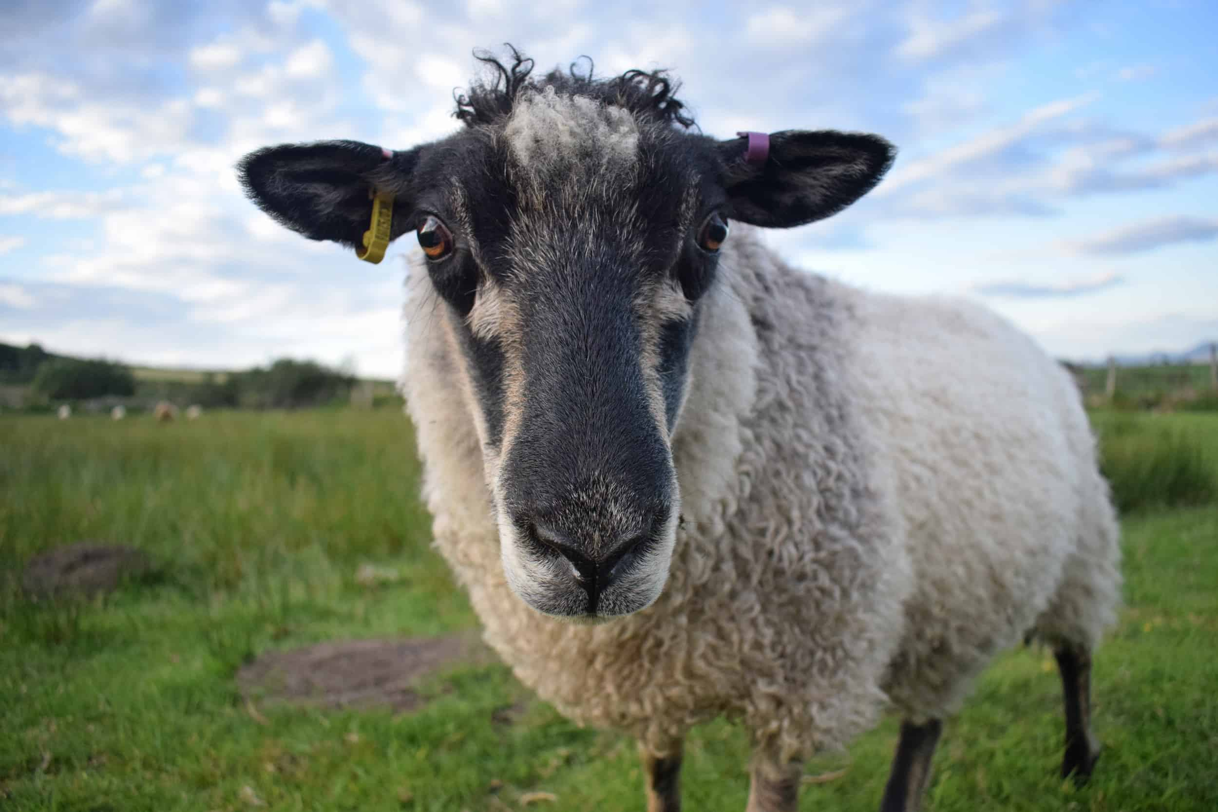 Florence coloured leicester longwool cross gotland shetland shearling ewe felted fleece rug
