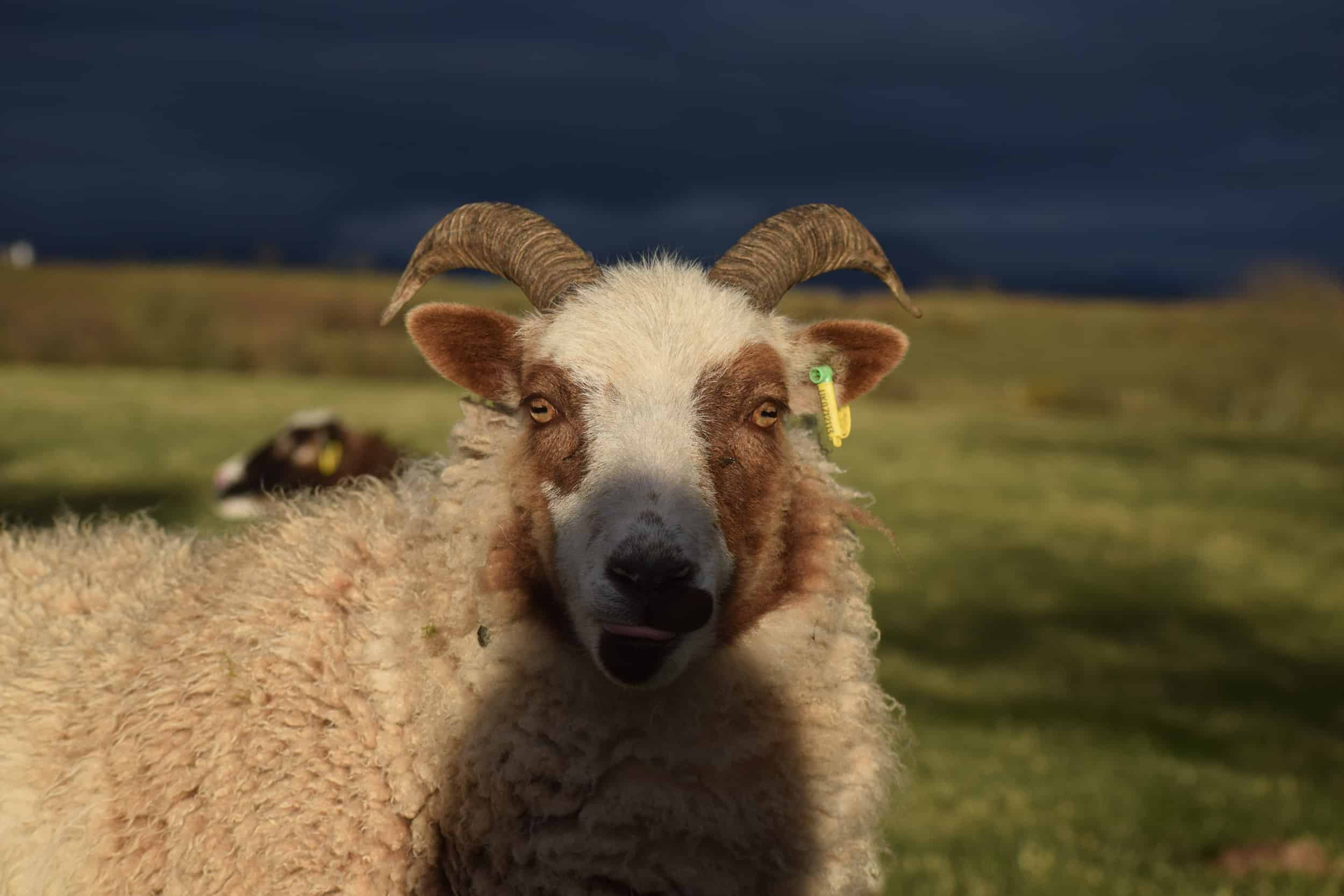 Posy pet lamb sheep friennd moorit spotted soay cross sheep kind fibre british wool ethical gifts 4