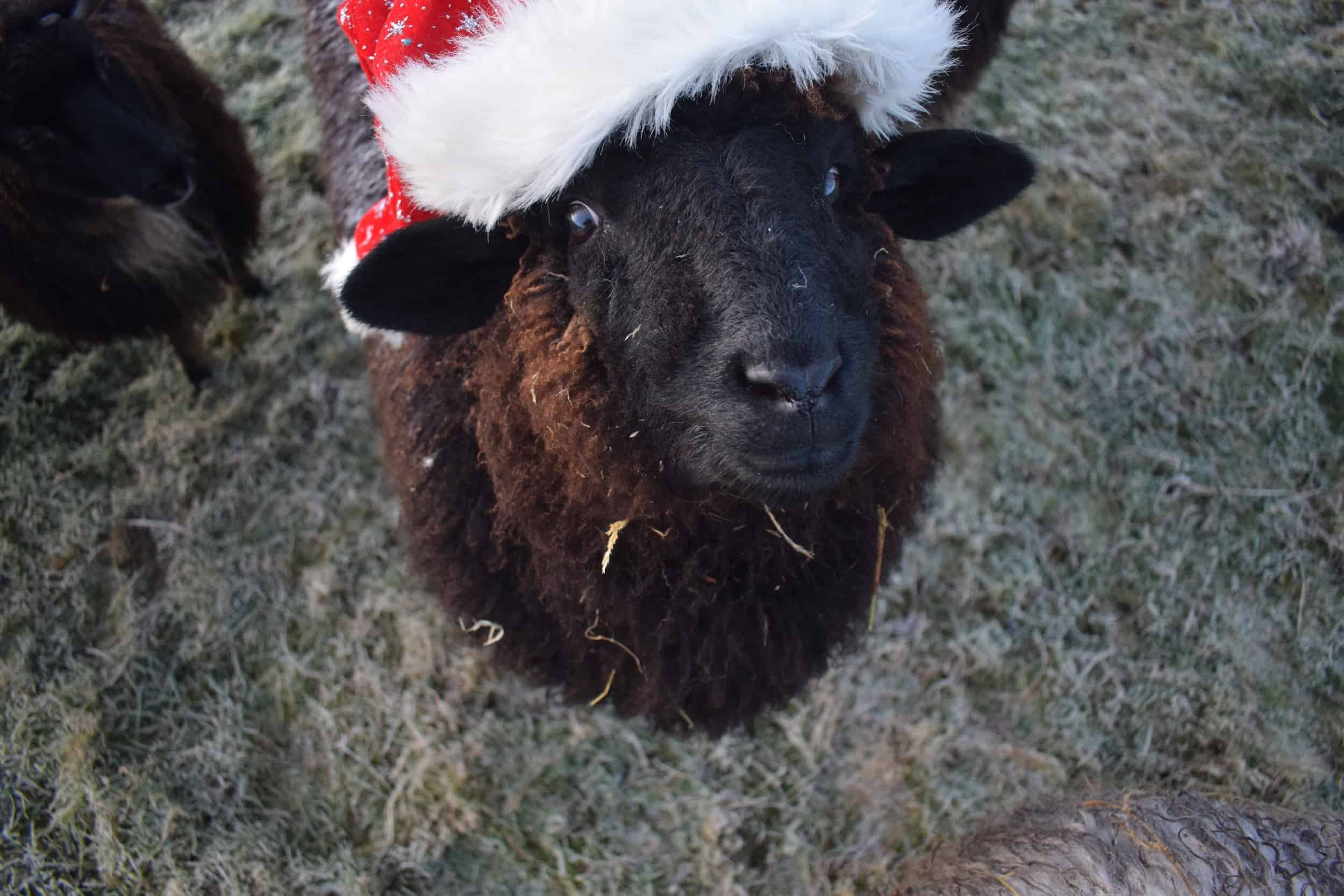 Spot santa hat xmas valais blacknose cross zwables texel sheep pet sheep ethical sustainable wool gifts patchwork sheep black