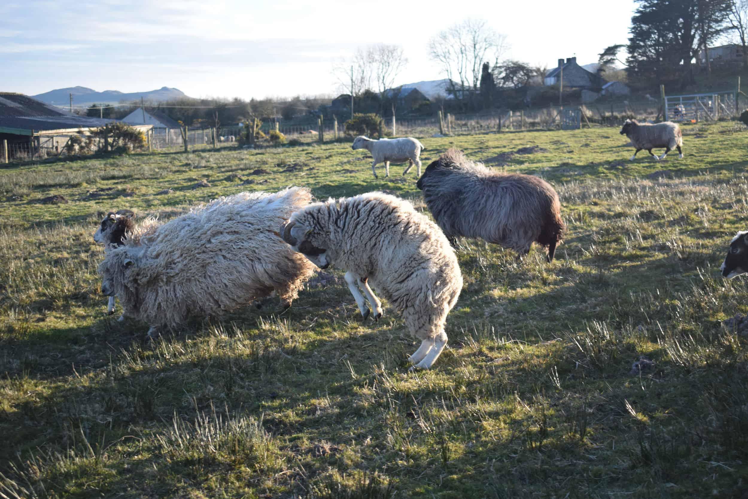 Posy pet lamb sheep friennd moorit spotted soay cross sheep 5