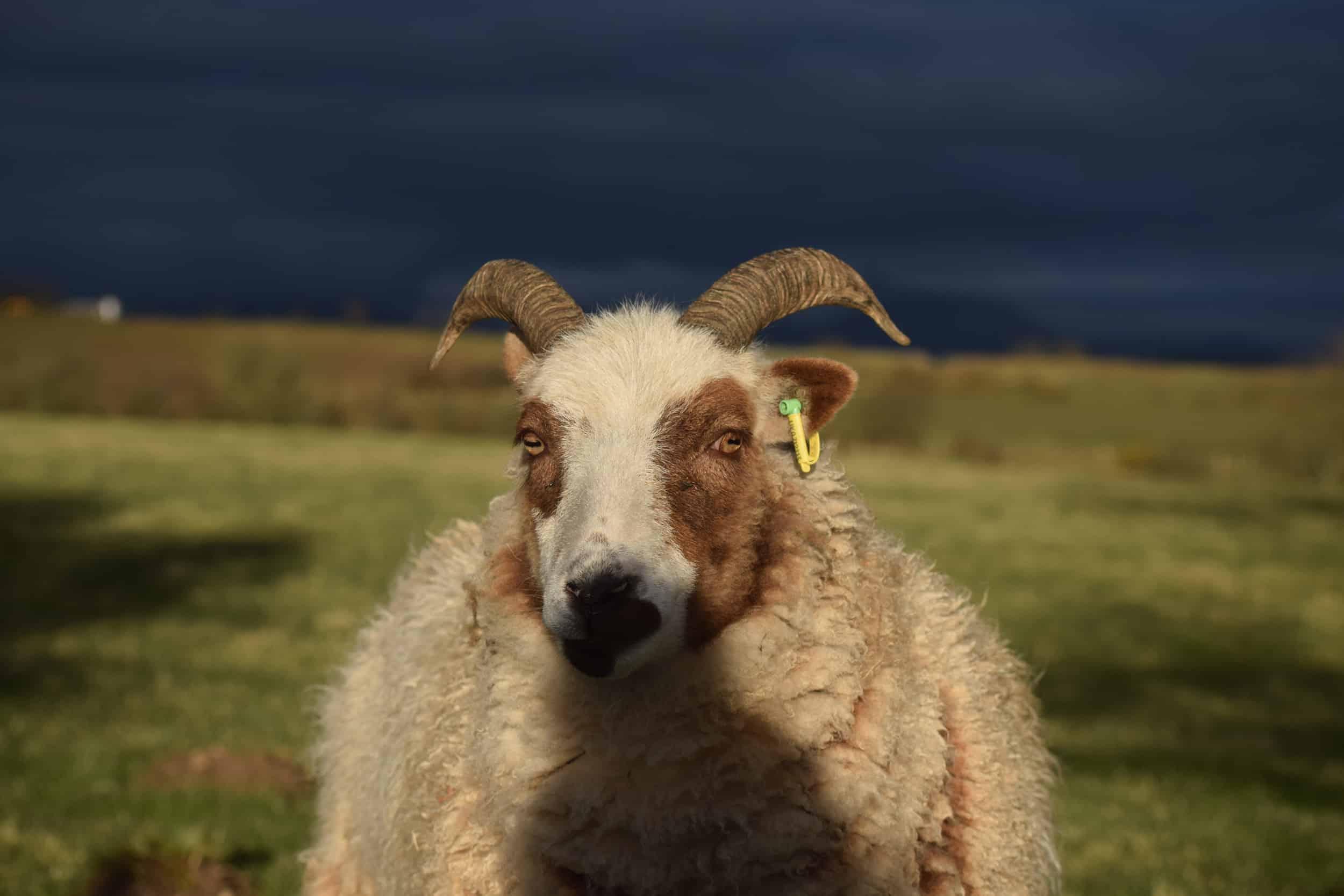Posy pet lamb sheep friennd moorit spotted soay cross sheep 6