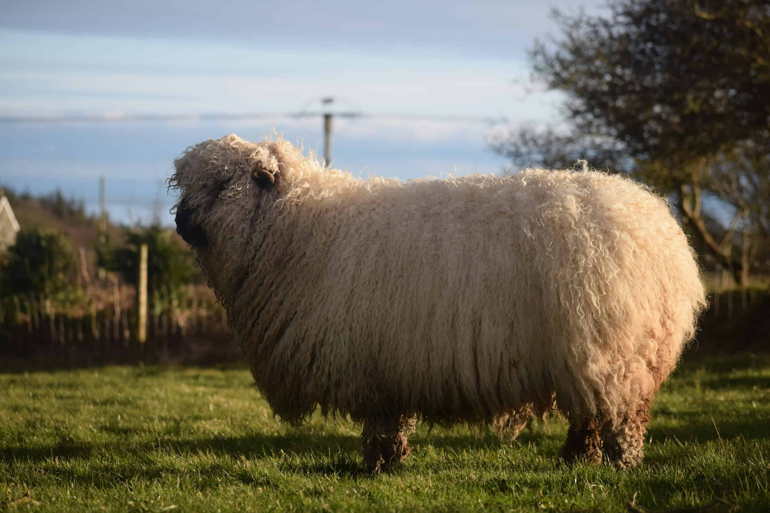 Nora Valais Blacknose Cross greyface dartmoor silvernose cute pet sheep wool 2