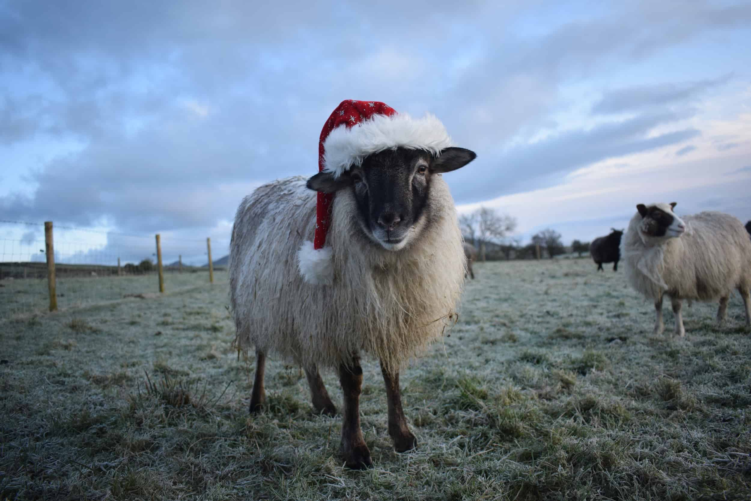 Elder frosted grey mouflon icelandic cross pet wether santa hat festive
