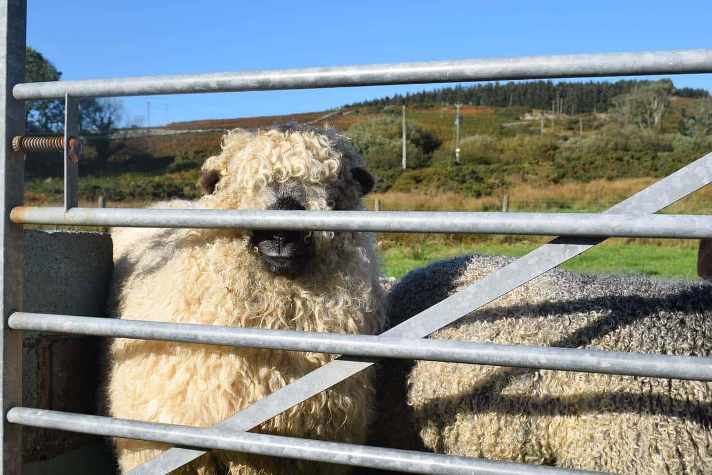 Nora valais blacknose greyface dartmoor pet sheep cuddle bear sheep patchworksheep crueltyfree felt rugs 2