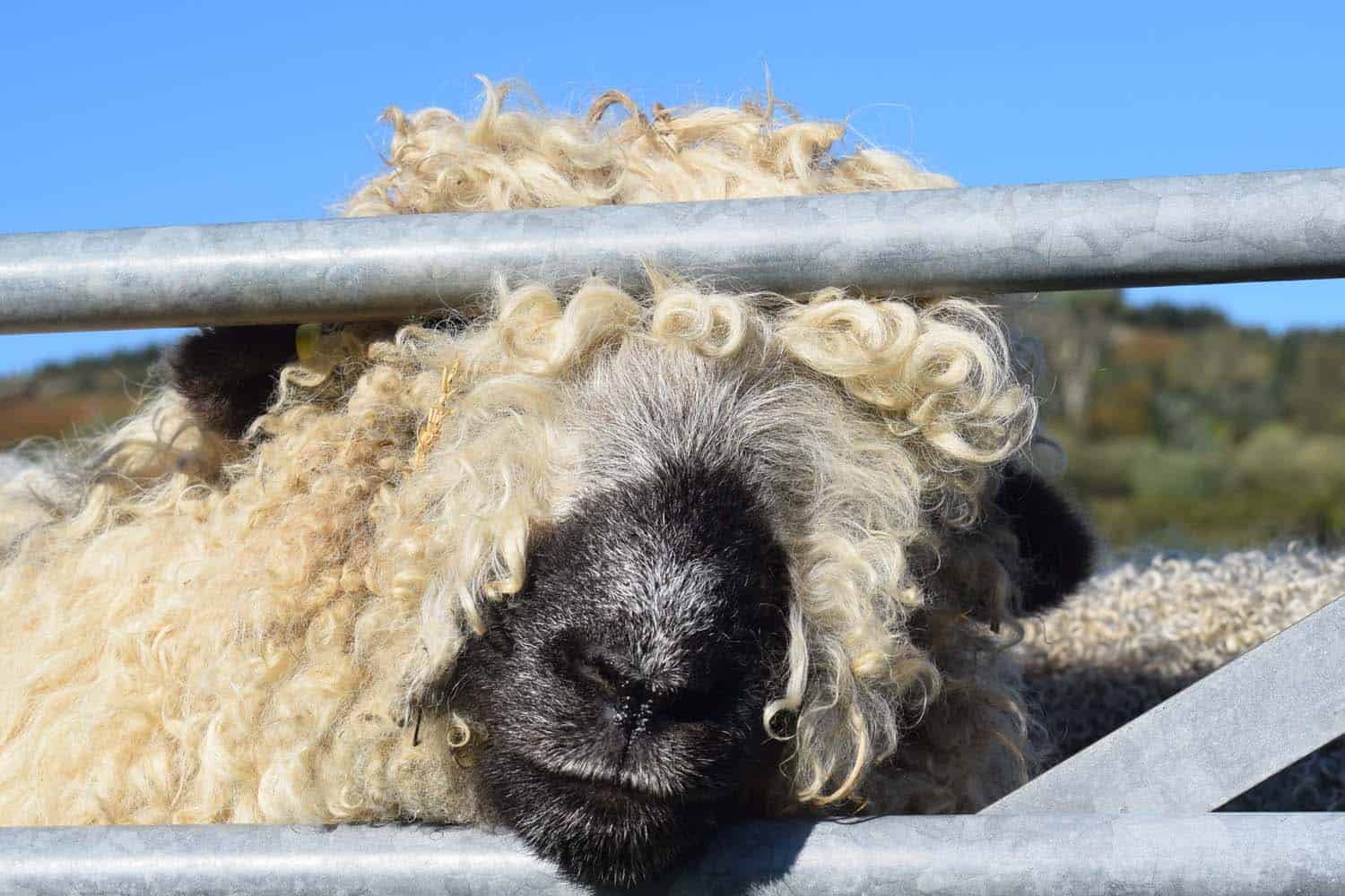Nora valais blacknose greyface dartmoor pet sheep cuddle bear sheep patchworksheep crueltyfree felt rugs bear sheep
