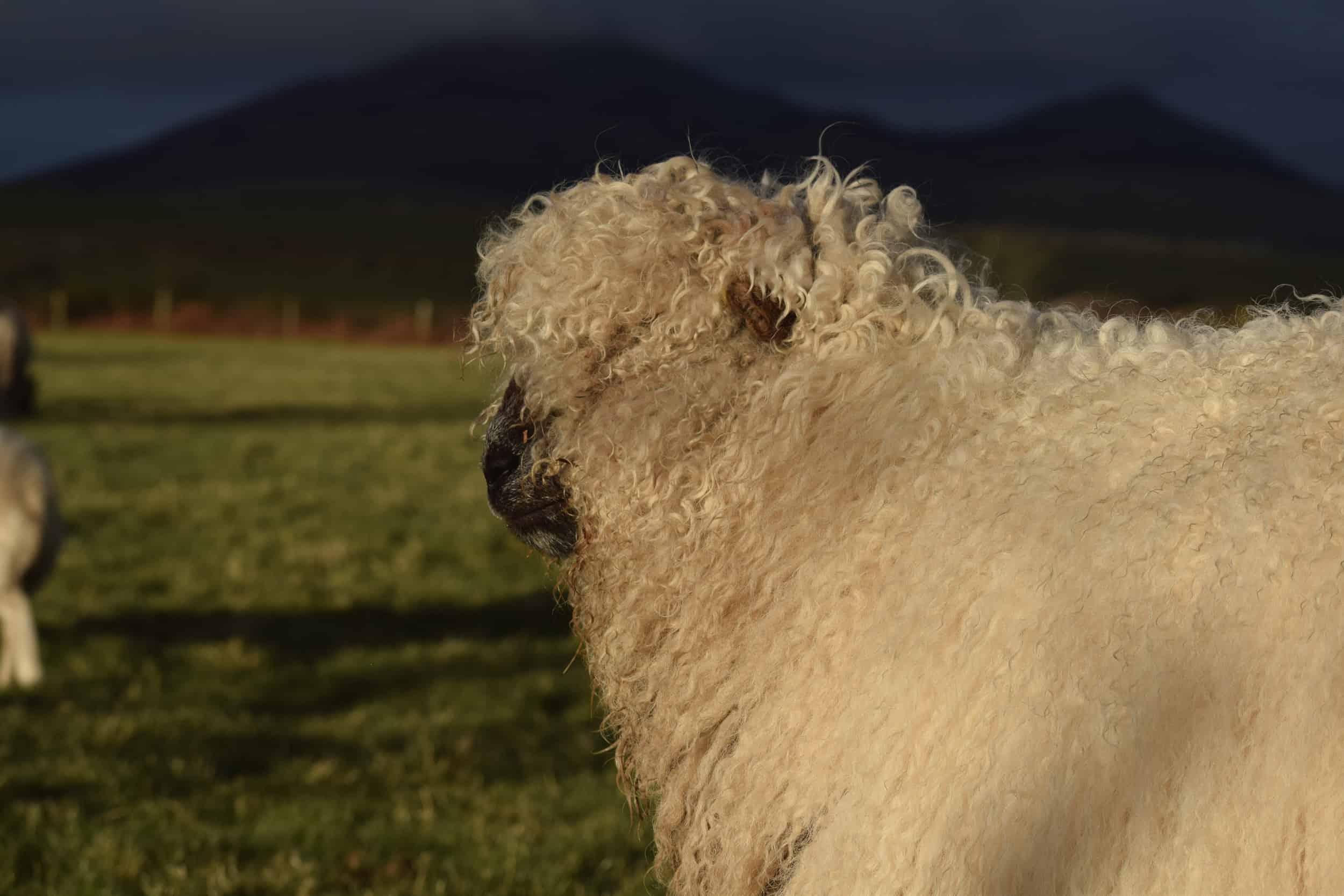 Nora valais blacknose greyface dartmoor pet sheep cuddle bear sheep patchworksheep crueltyfree felt rugs cute