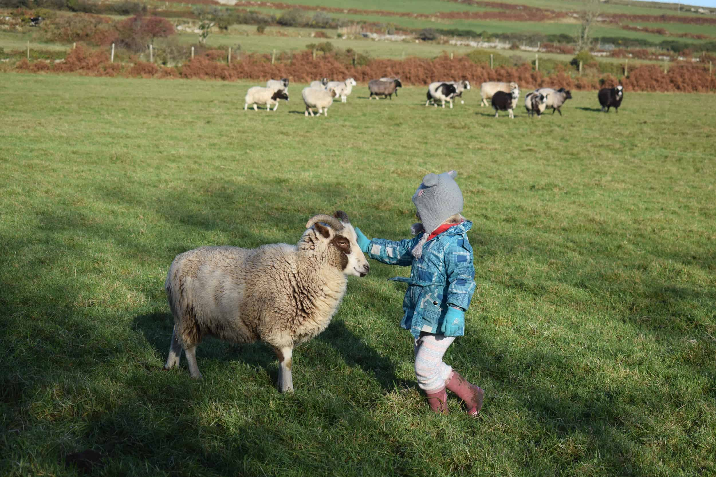 Posy pet lamb sheep friennd moorit spotted soay cross sheep kind fibre british wool ethical gifts 7