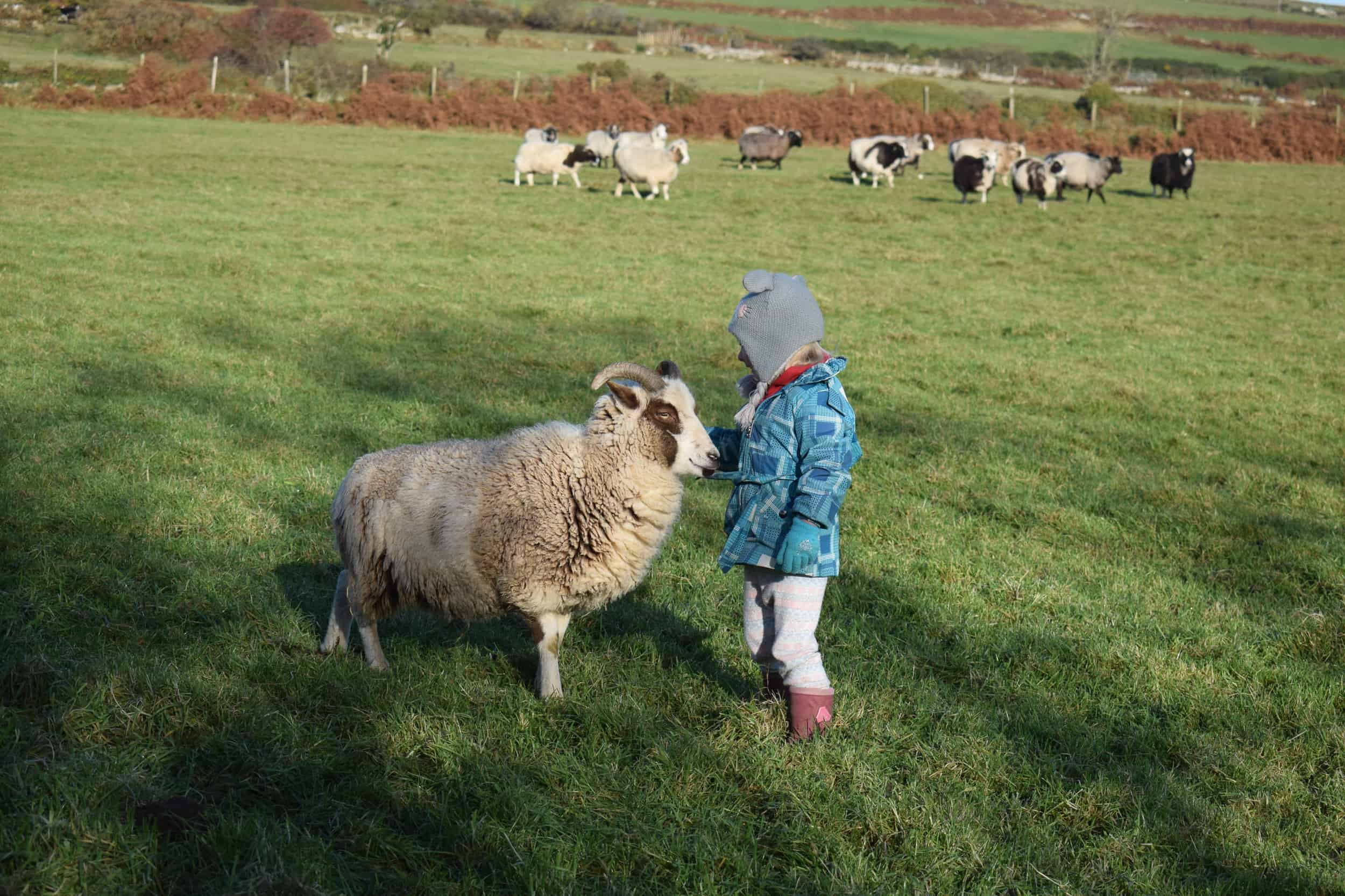 Posy pet lamb sheep friennd moorit spotted soay cross sheep kind fibre british wool ethical gifts 9
