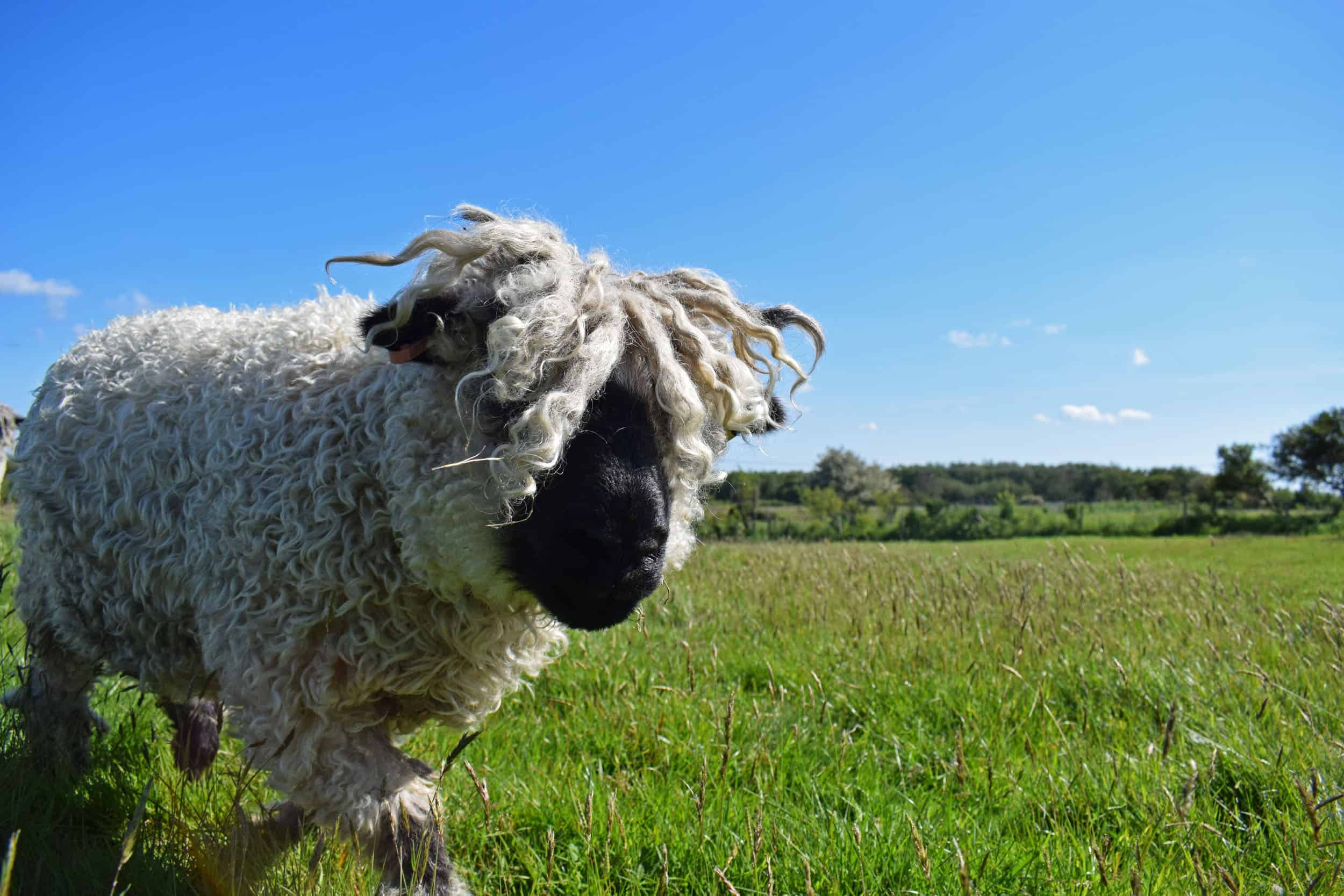 Doris valais blacknose silvernose greyface dartmoor cross sheep [et cute teddy bear wool rug 4