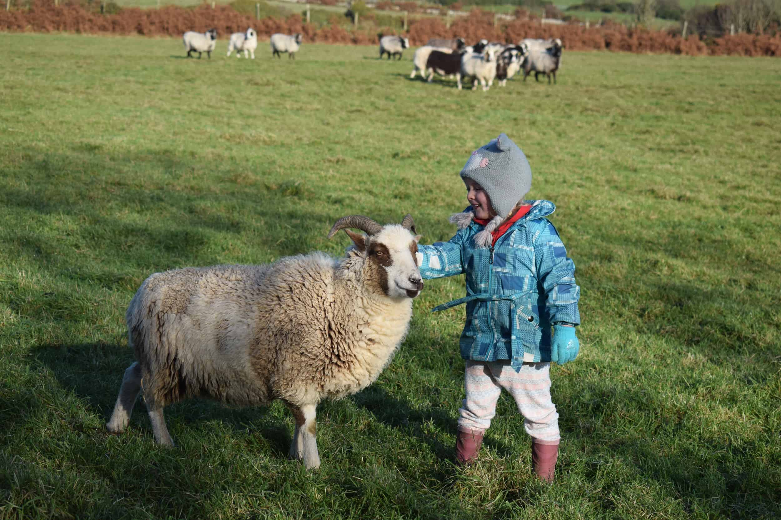 Posy pet lamb sheep friennd moorit spotted soay cross sheep kind fibre british wool ethical gifts 5