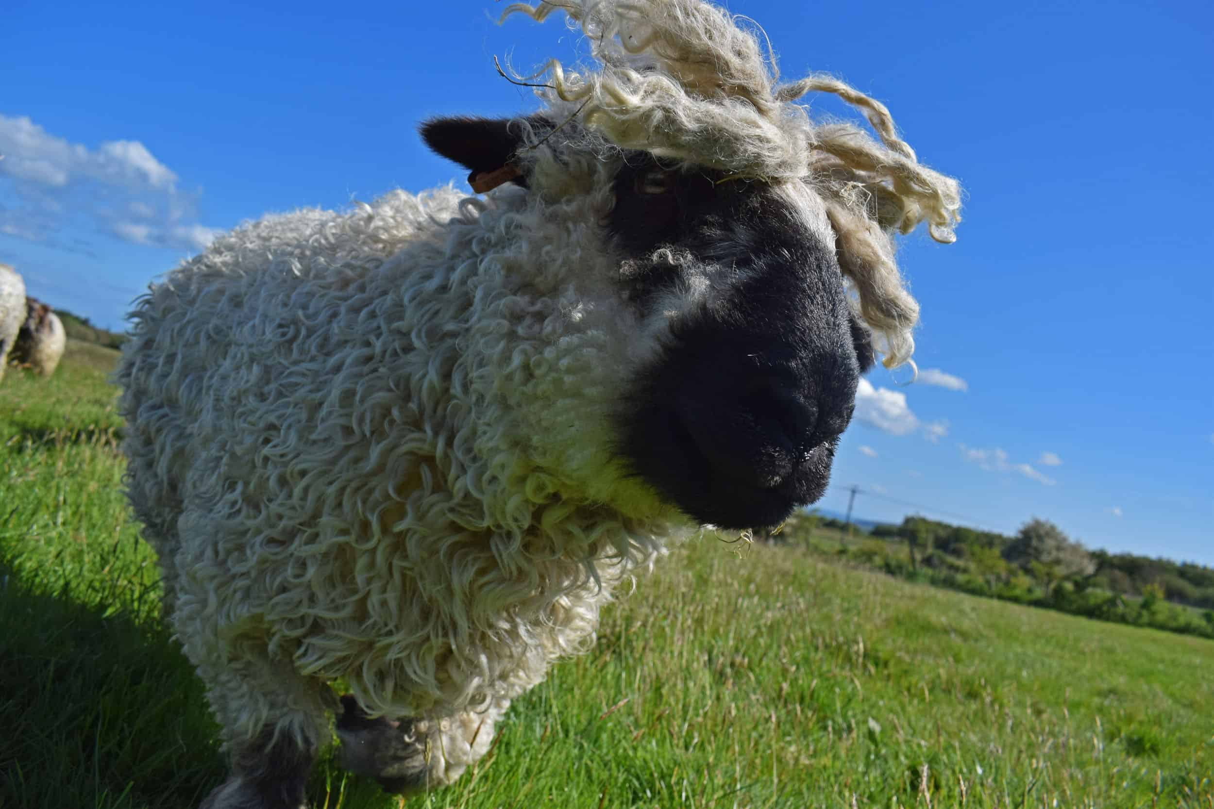 Doris valais blacknose silvernose greyface dartmoor cross sheep [et cute teddy bear wool rug 3