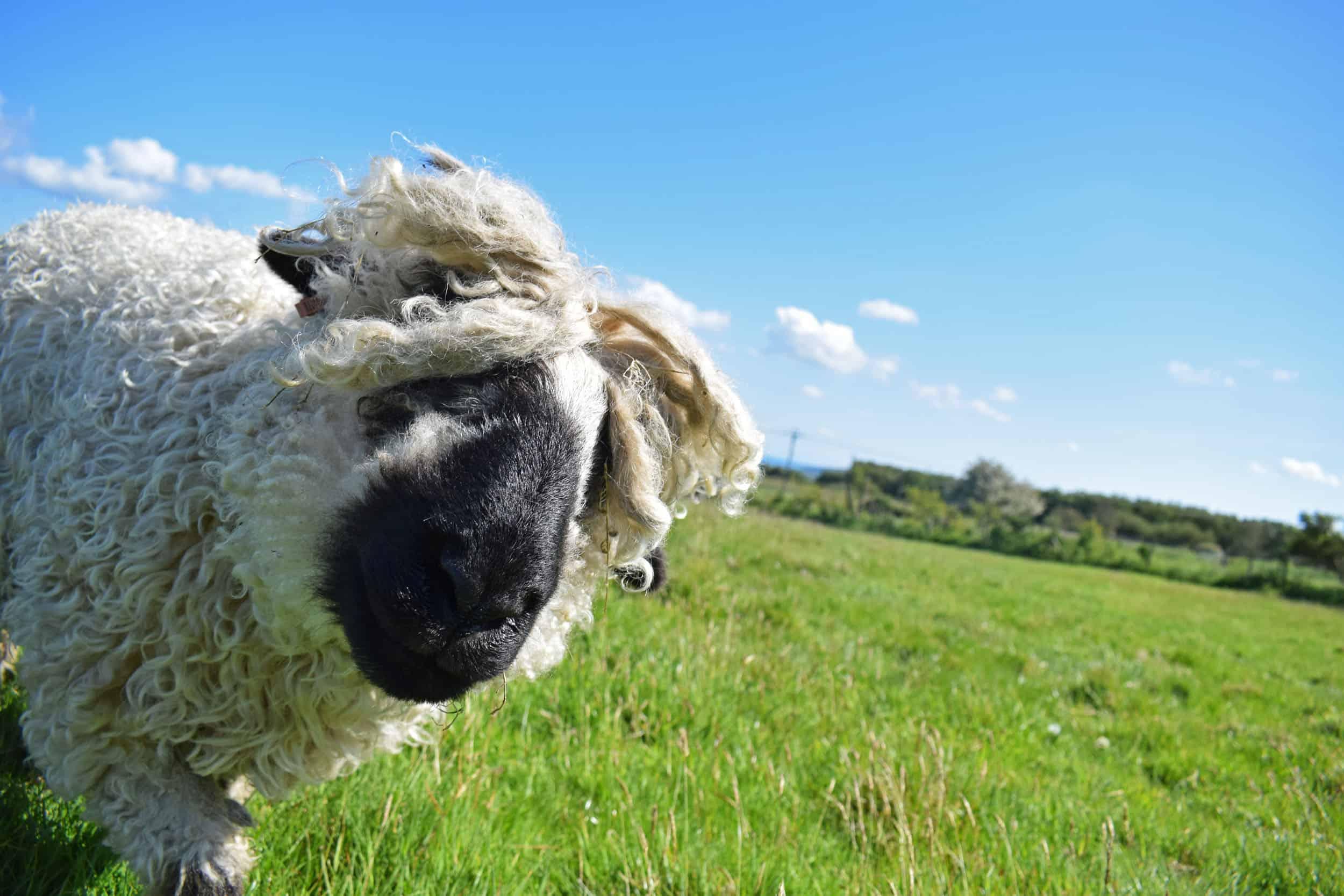 Doris valais blacknose silvernose greyface dartmoor cross sheep [et cute teddy bear wool rug 2