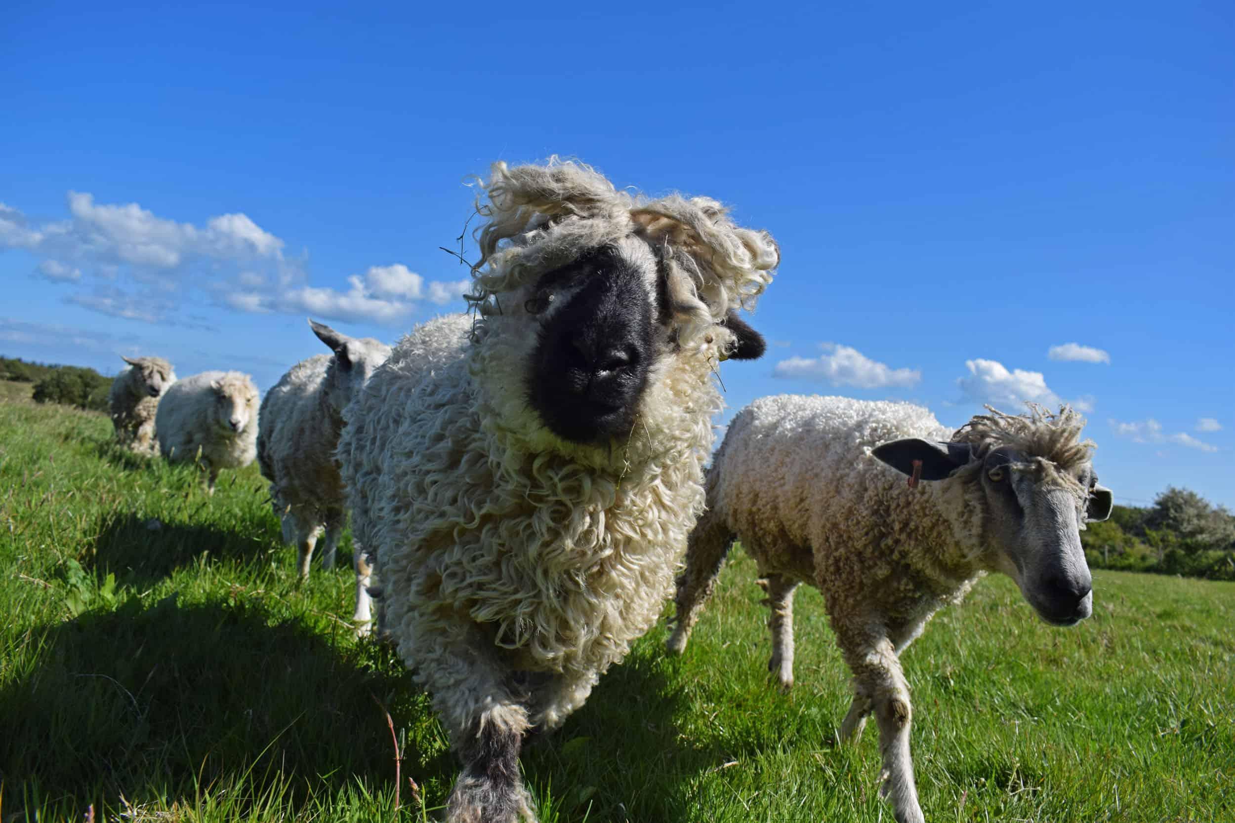 Doris valais blacknose silvernose greyface dartmoor cross sheep [et cute teddy bear wool rug 6