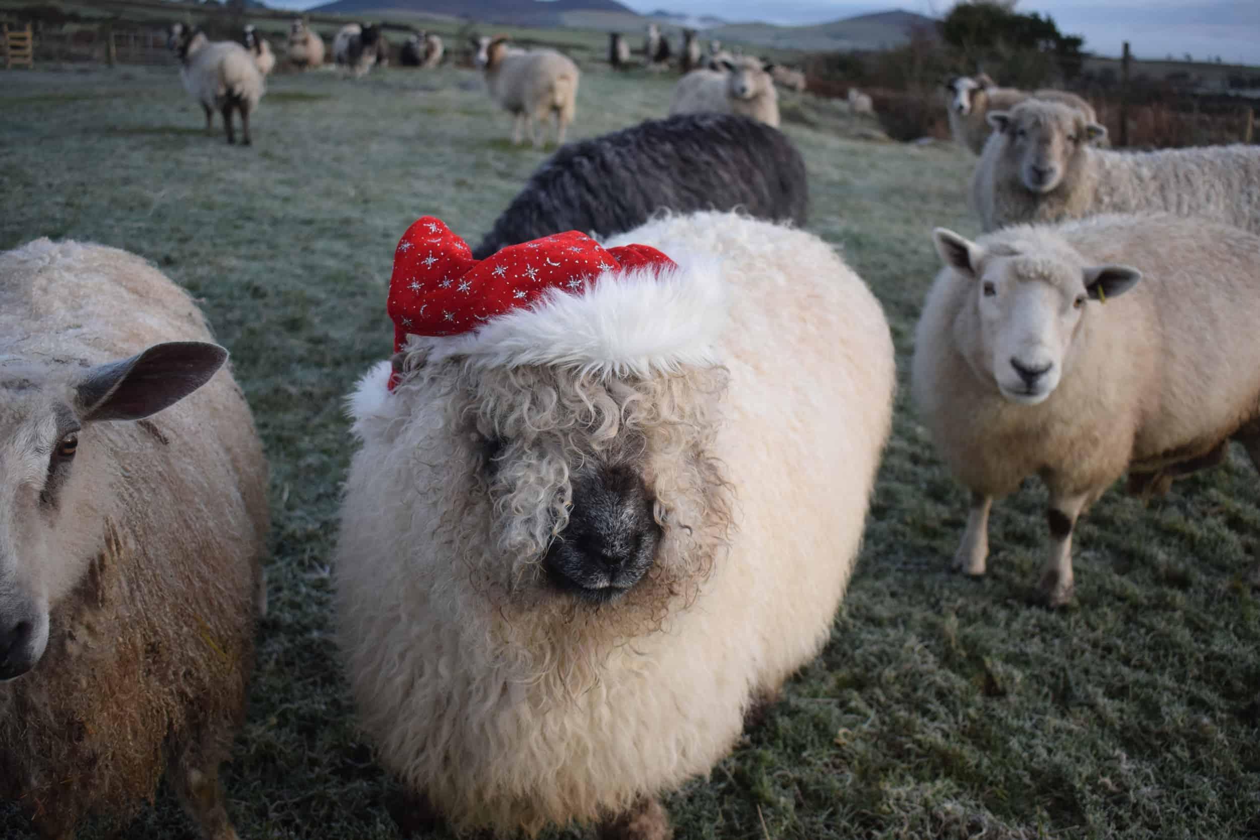 Nora sheep santa hat valais blacknose cross greyface dartmoor christmas woolly