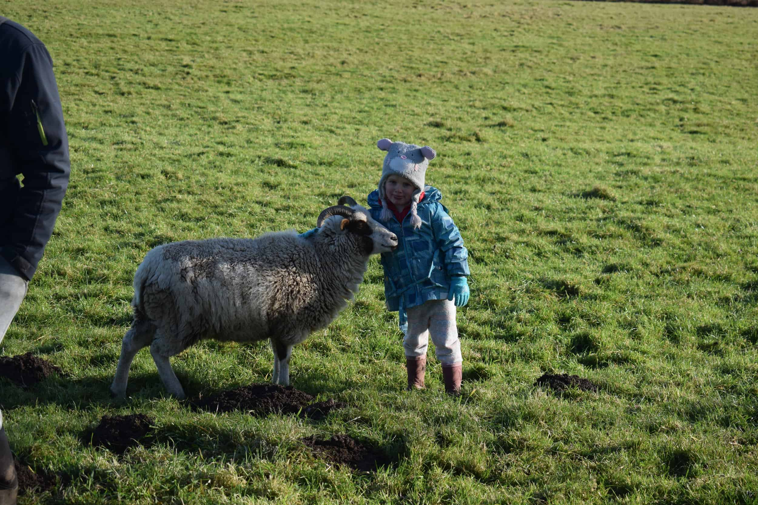 Posy pet lamb sheep friennd moorit spotted soay cross sheep kind fibre british wool ethical gifts 3