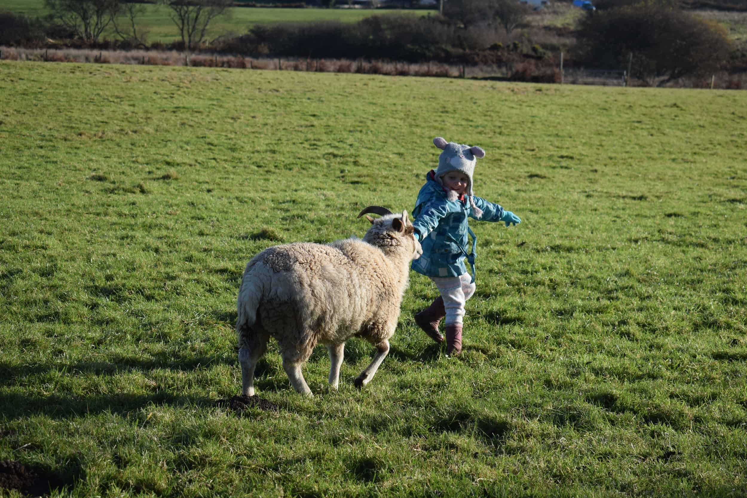 Posy pet lamb sheep friennd moorit spotted soay cross sheep kind fibre british wool ethical gifts