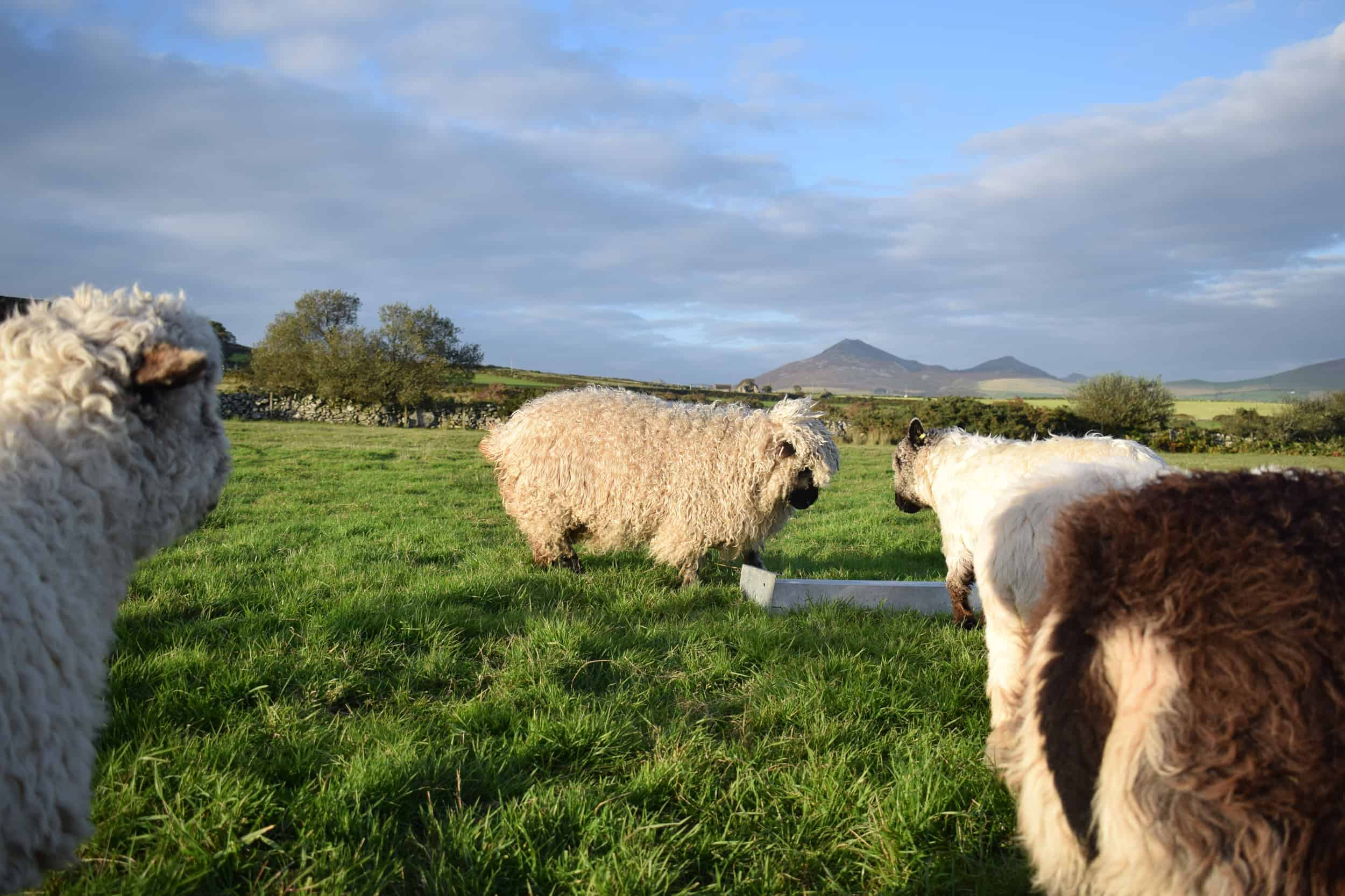 Doris valais blacknose silvernose greyface dartmoor cross sheep [et cute teddy bear wool rug