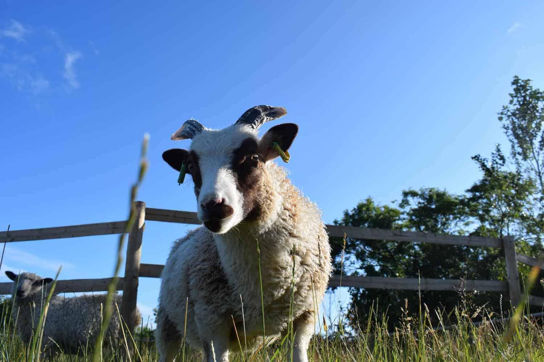 Posy pet lamb sheep friennd moorit spotted soay cross sheep 4