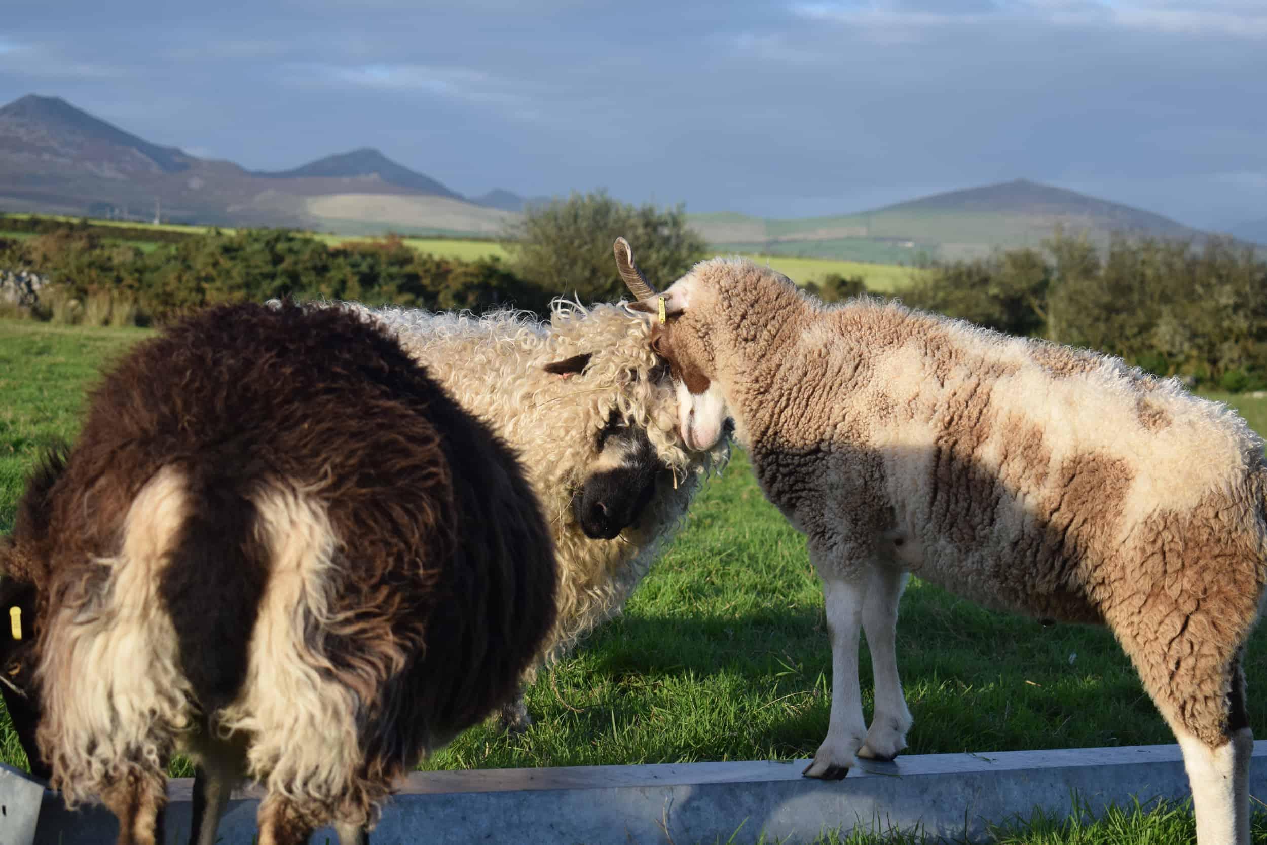 Doris valais blacknose silvernose greyface dartmoor cross sheep [et cute teddy bear wool rug pip