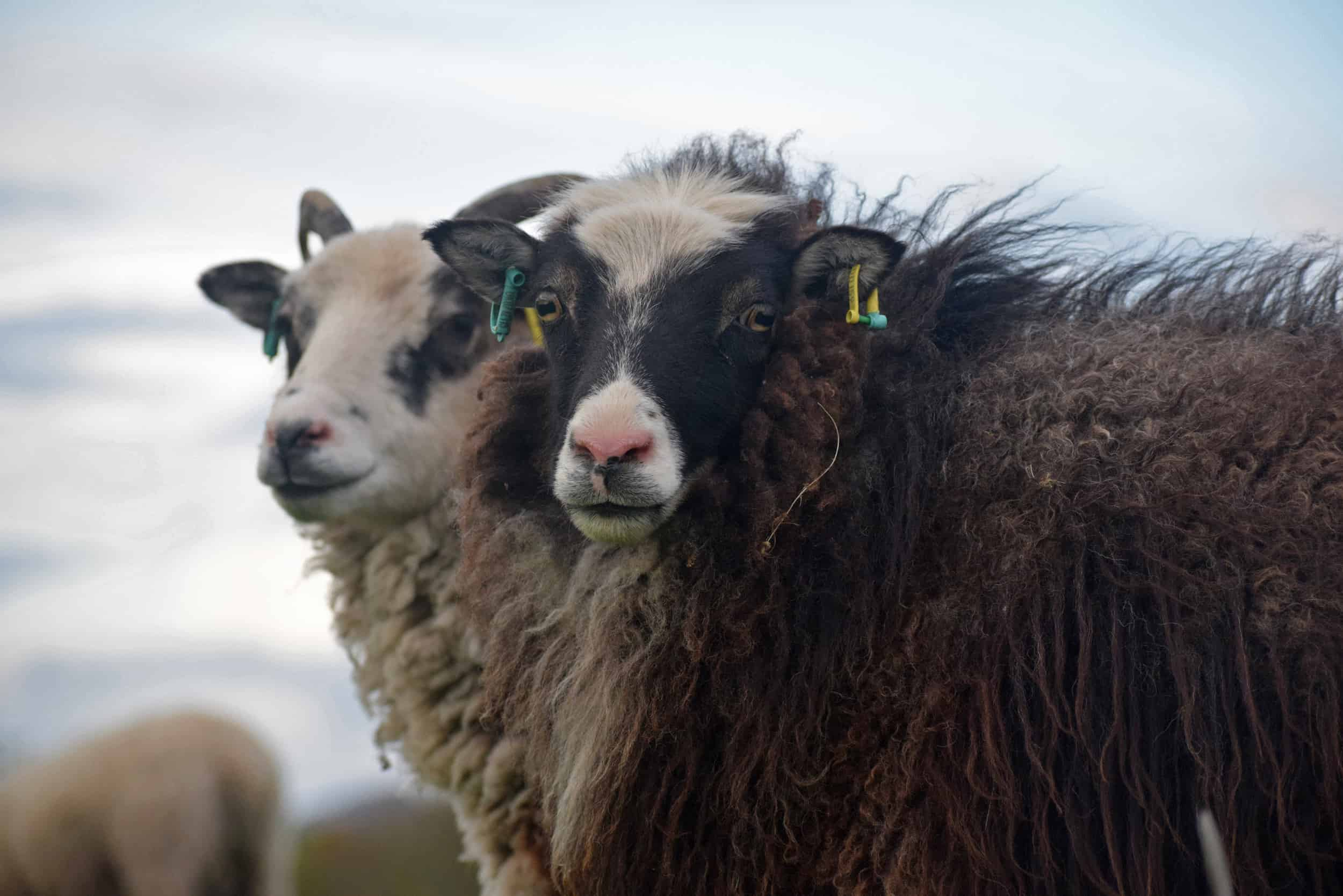 Taragon soay cross frosted mouflon welsh mountain sheep pretty british wool 3