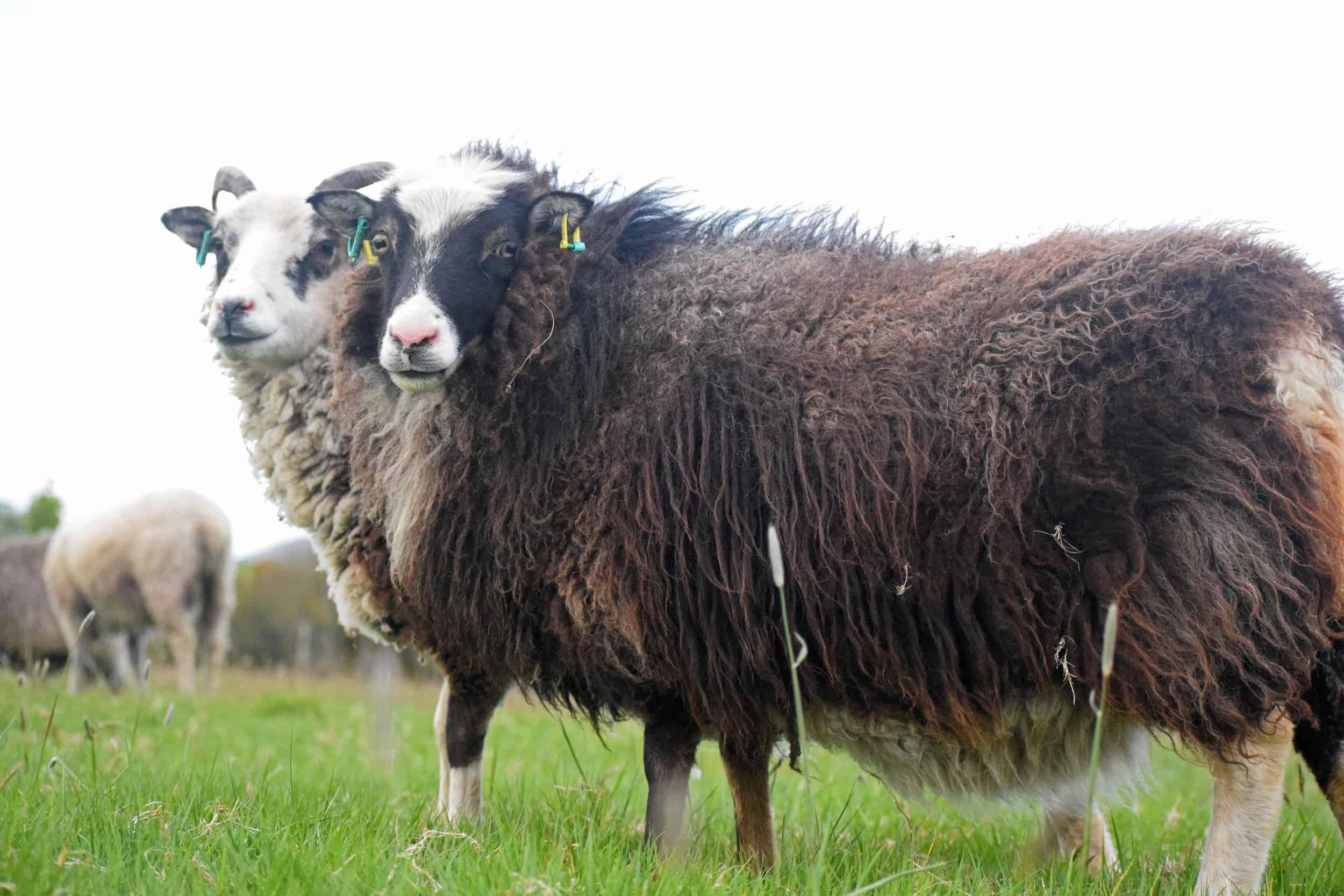 Taragon soay cross frosted mouflon welsh mountain sheep pretty british wool
