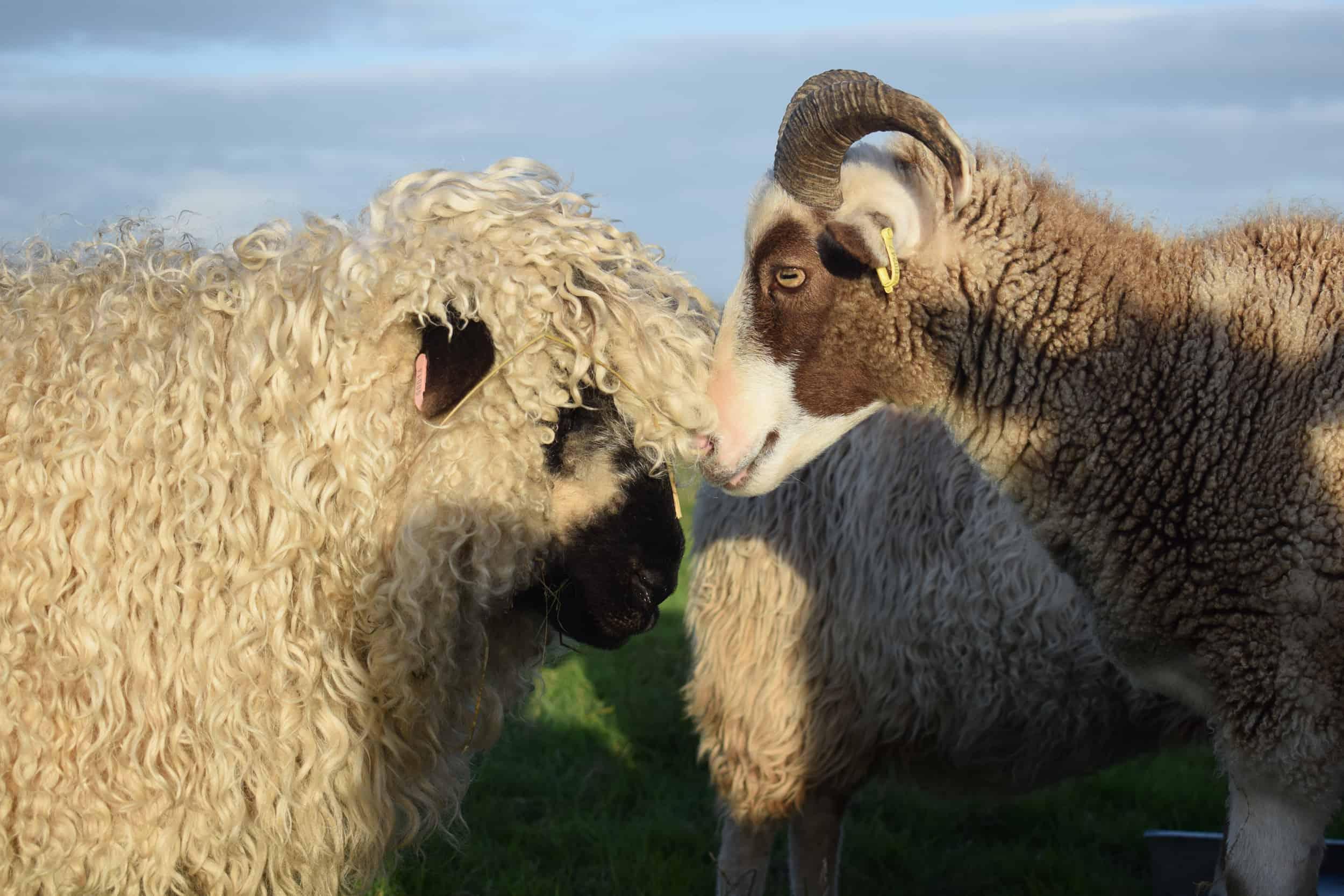 Doris valais blacknose silvernose greyface dartmoor cross sheep [et cute teddy bear wool rug pip 2