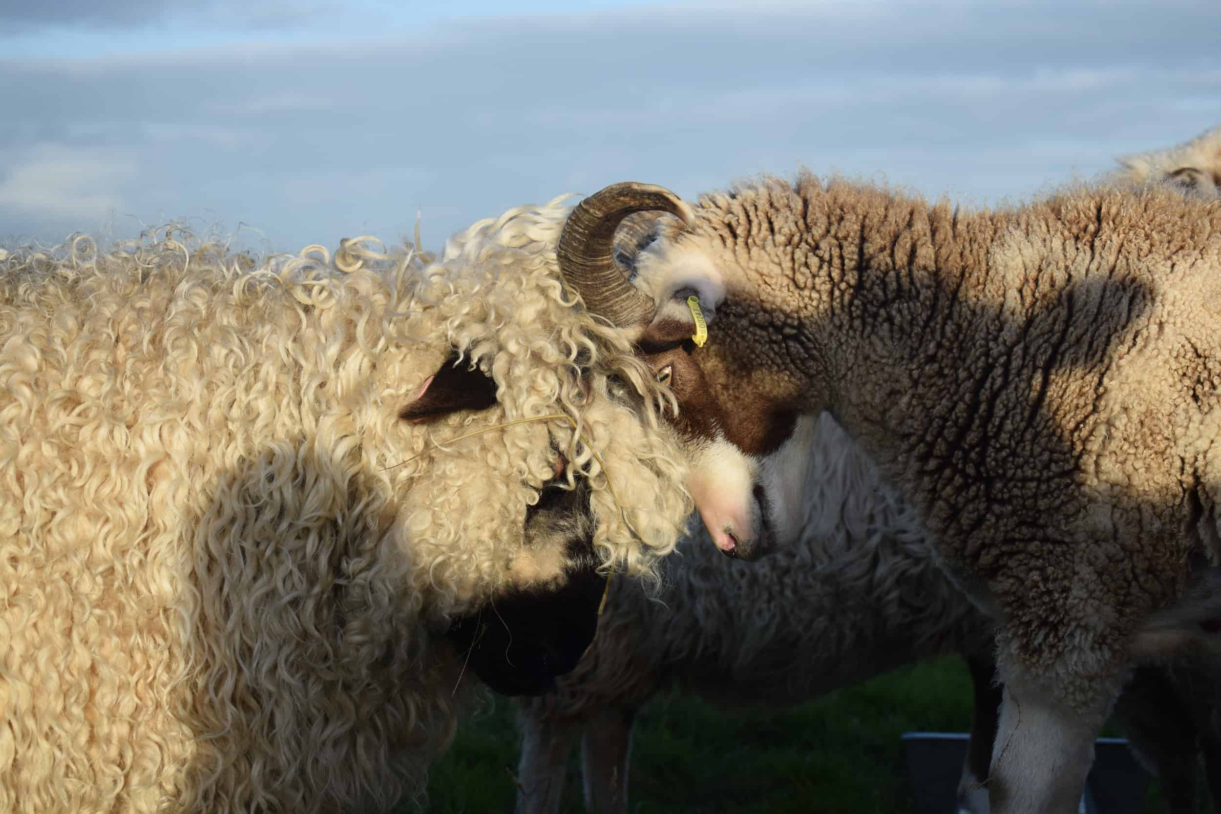 Doris valais blacknose silvernose greyface dartmoor cross sheep [et cute teddy bear wool rug pip head to head