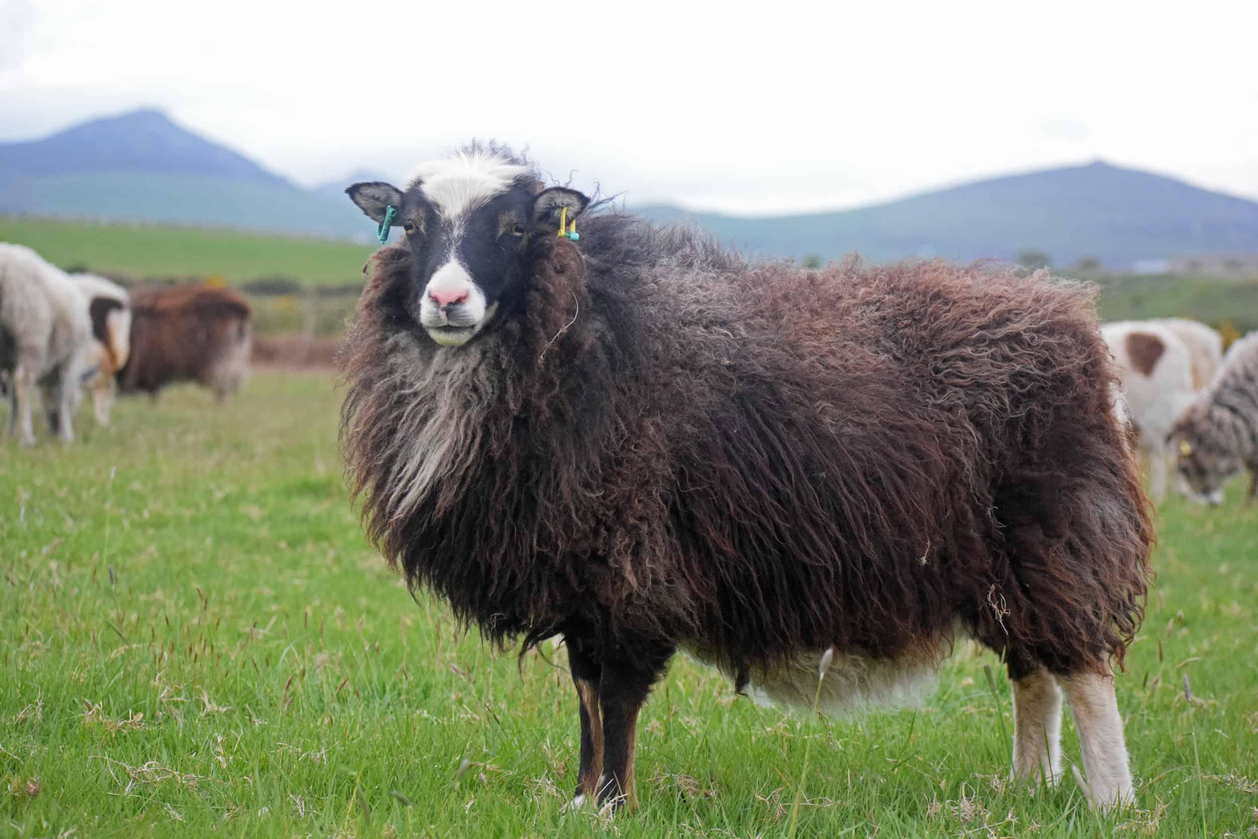 Taragon soay cross frosted mouflon welsh mountain sheep pretty british wool 2