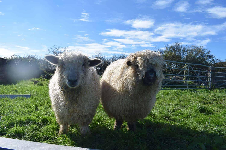 Nora valais blacknose greyface dartmoor pet sheep cuddle bear sheep patchworksheep crueltyfree felt rugs alice