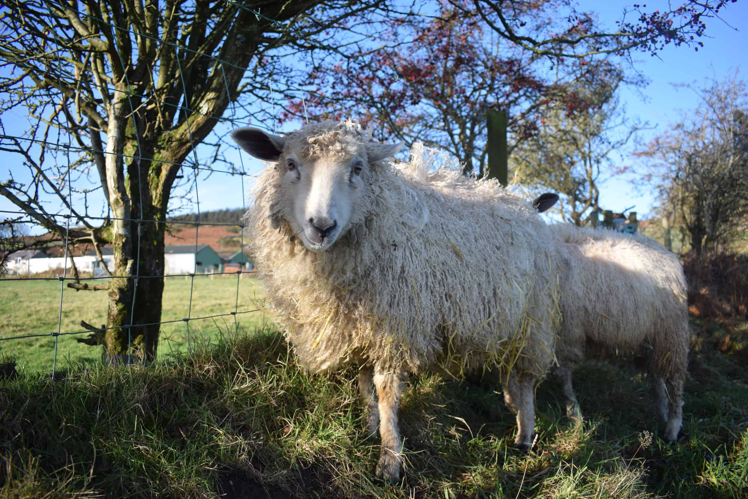 nymphadora sheep wensleydale cross icelandic sheep wool pretty 4
