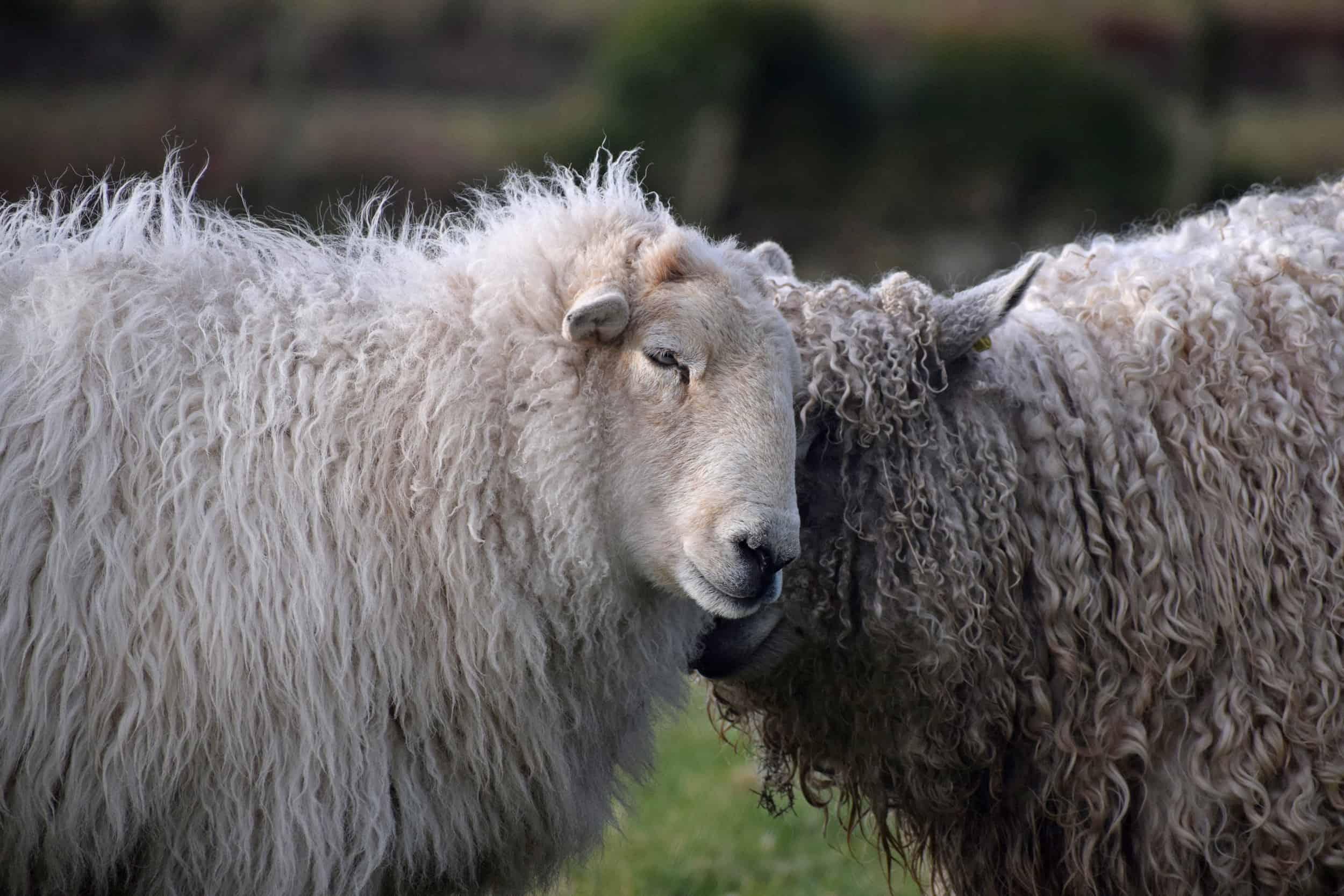 Nettle Welsh mountain hill sheep ewe old welsh wool rugs woven handmade 7