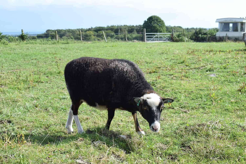 Taragon welsh mountain cross soay sheep wild beautiful wool frosted mouflon 4