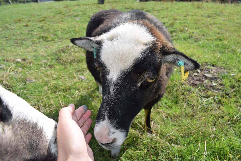 Taragon welsh mountain cross soay sheep wild beautiful wool frosted mouflon 3