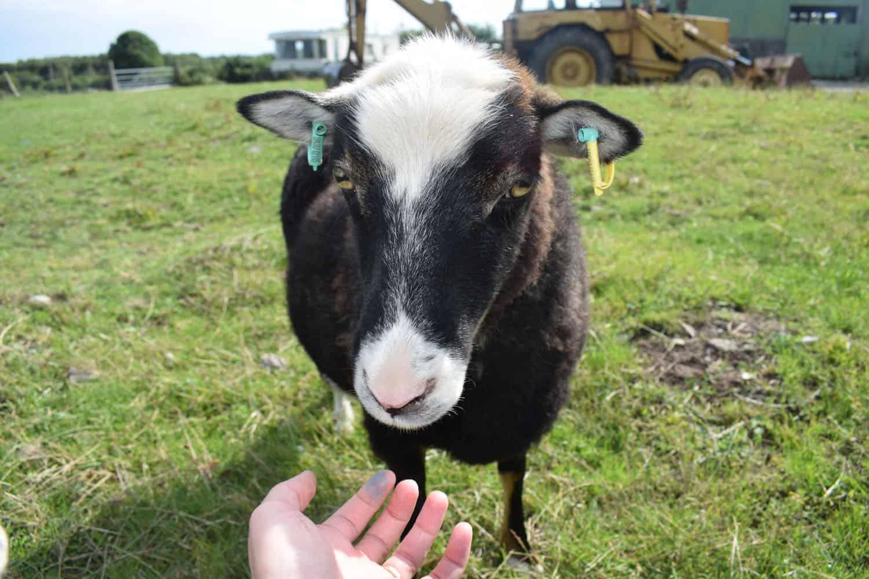 Taragon welsh mountain cross soay sheep wild beautiful wool frosted mouflon 2
