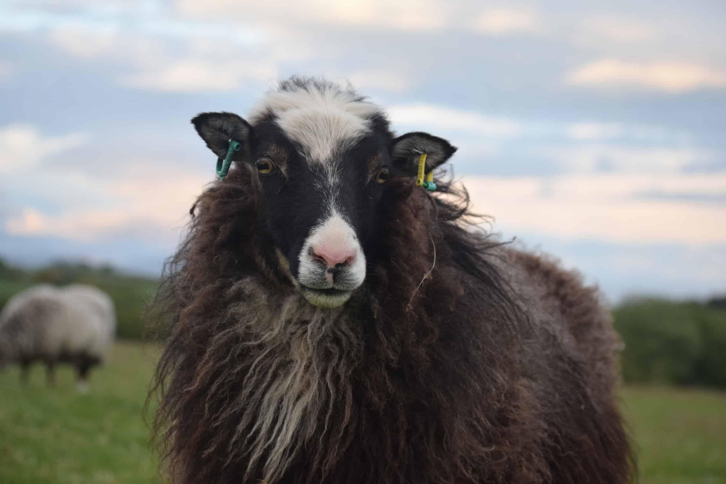 Taragon welsh mountain cross soay sheep wild beautiful wool frosted mouflon
