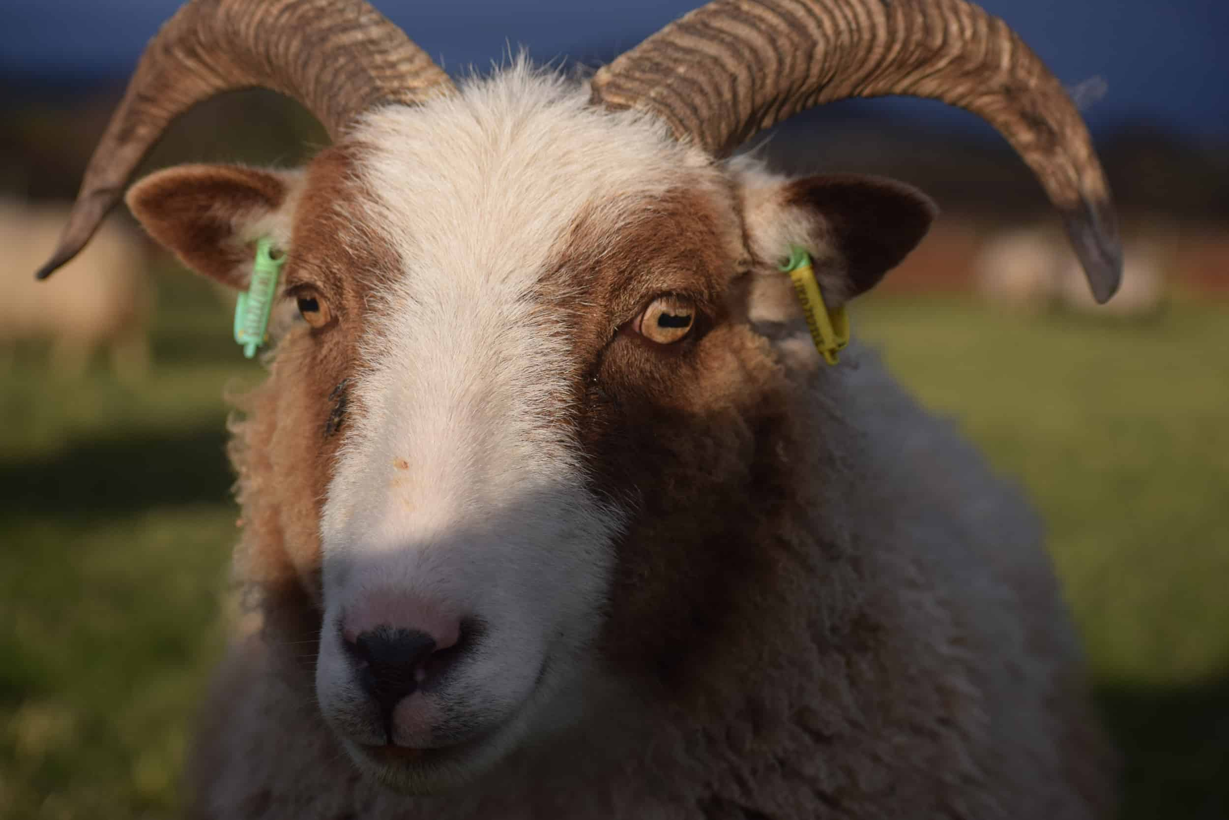Pip brown mouflon spotted soay sheep cross pet sheep wool gifts 9