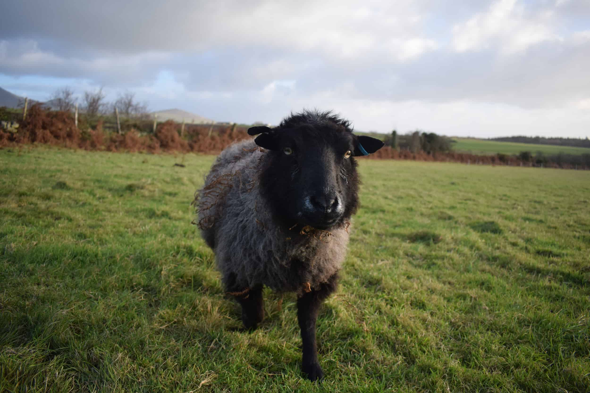 Currant black shetland sheep grandma kind fibre wool crafts 2